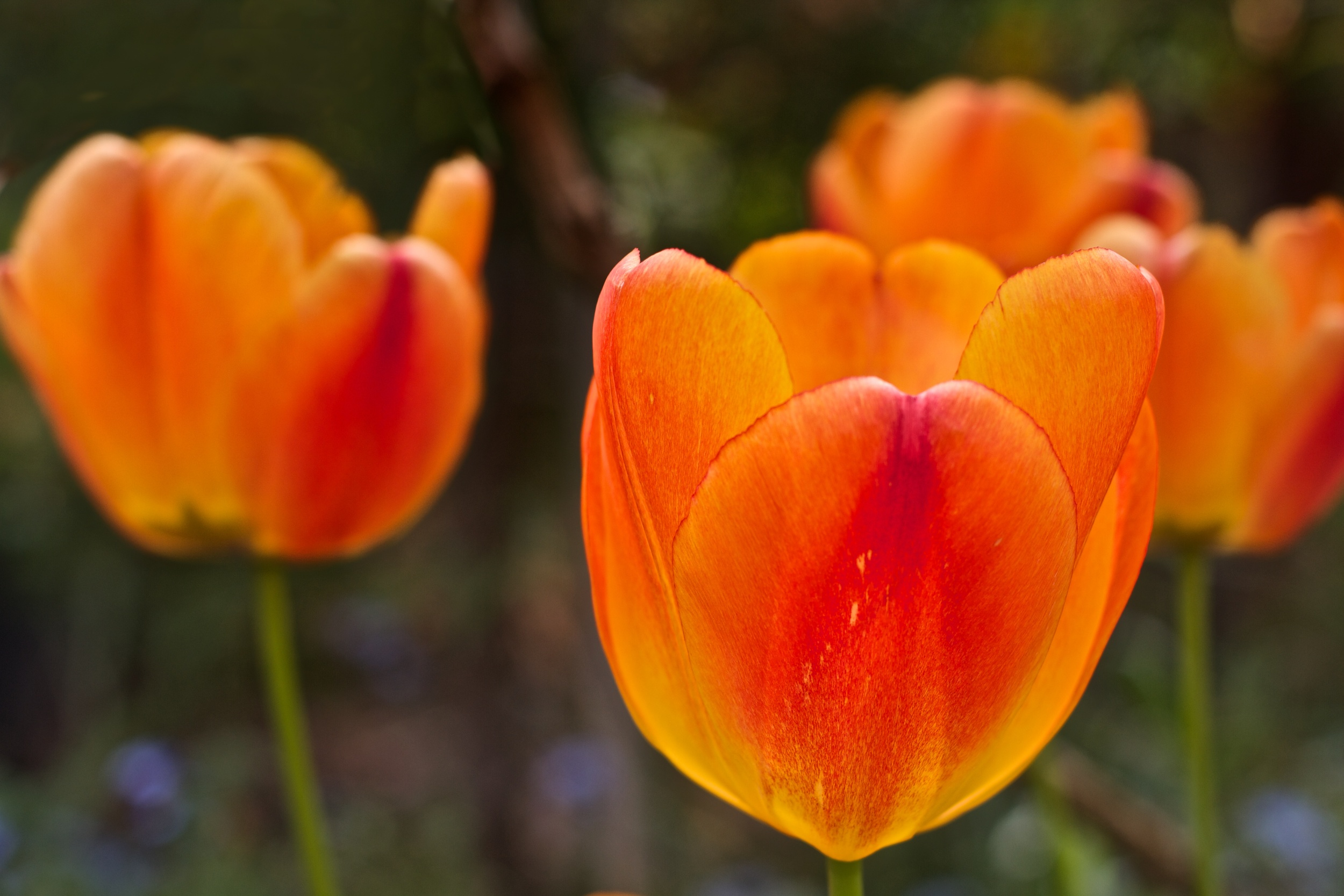 Brilliant yellow-orange tulips stand out against a dark background.  Canon EOS 7D EF 50mm at f/3.5 1/400 ISO 100