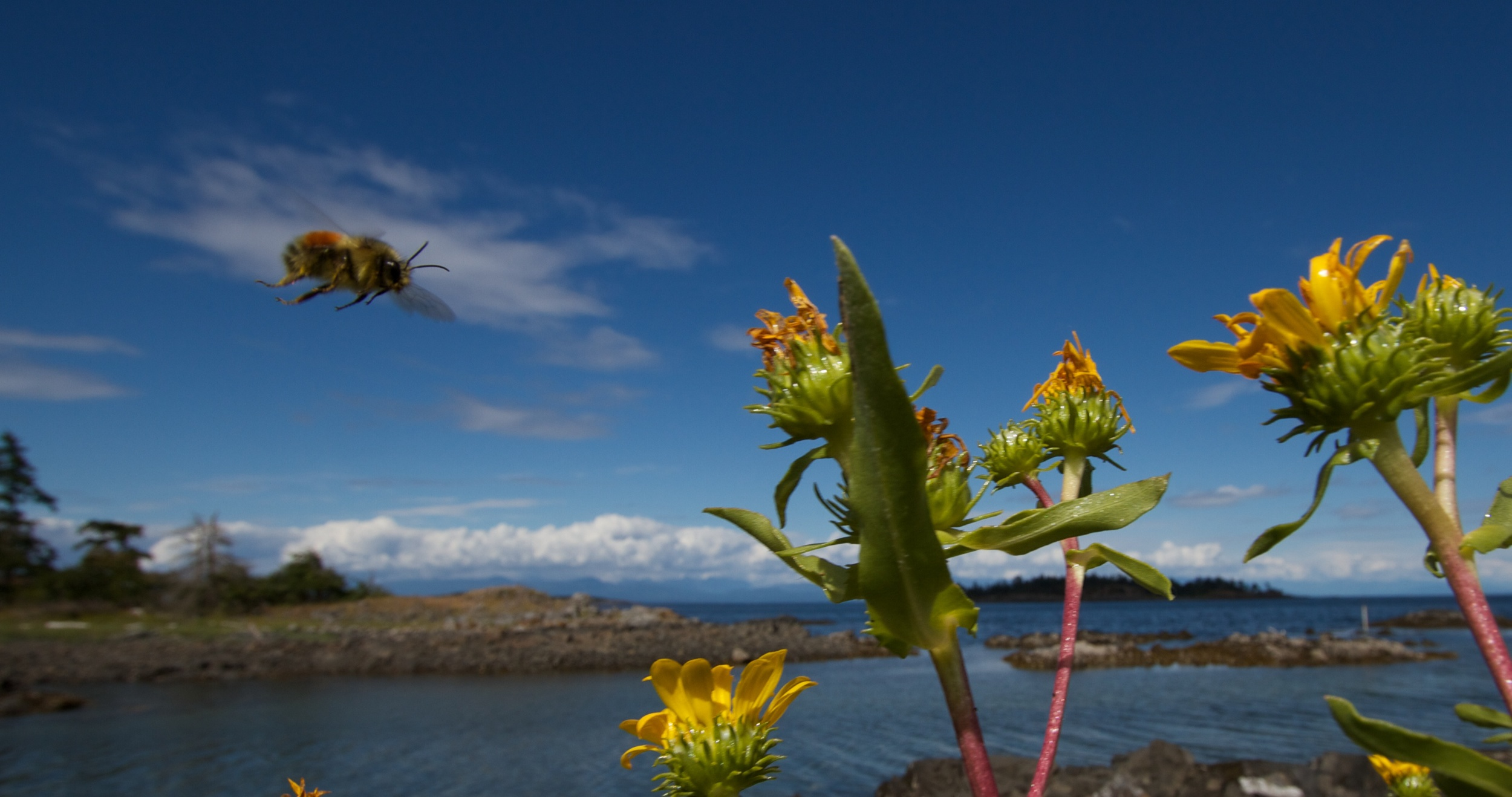 A bee flies in to land on flower.  Canon EOS 7D EF-S 10-22mm at 10mm f/9 1/500 ISO 10