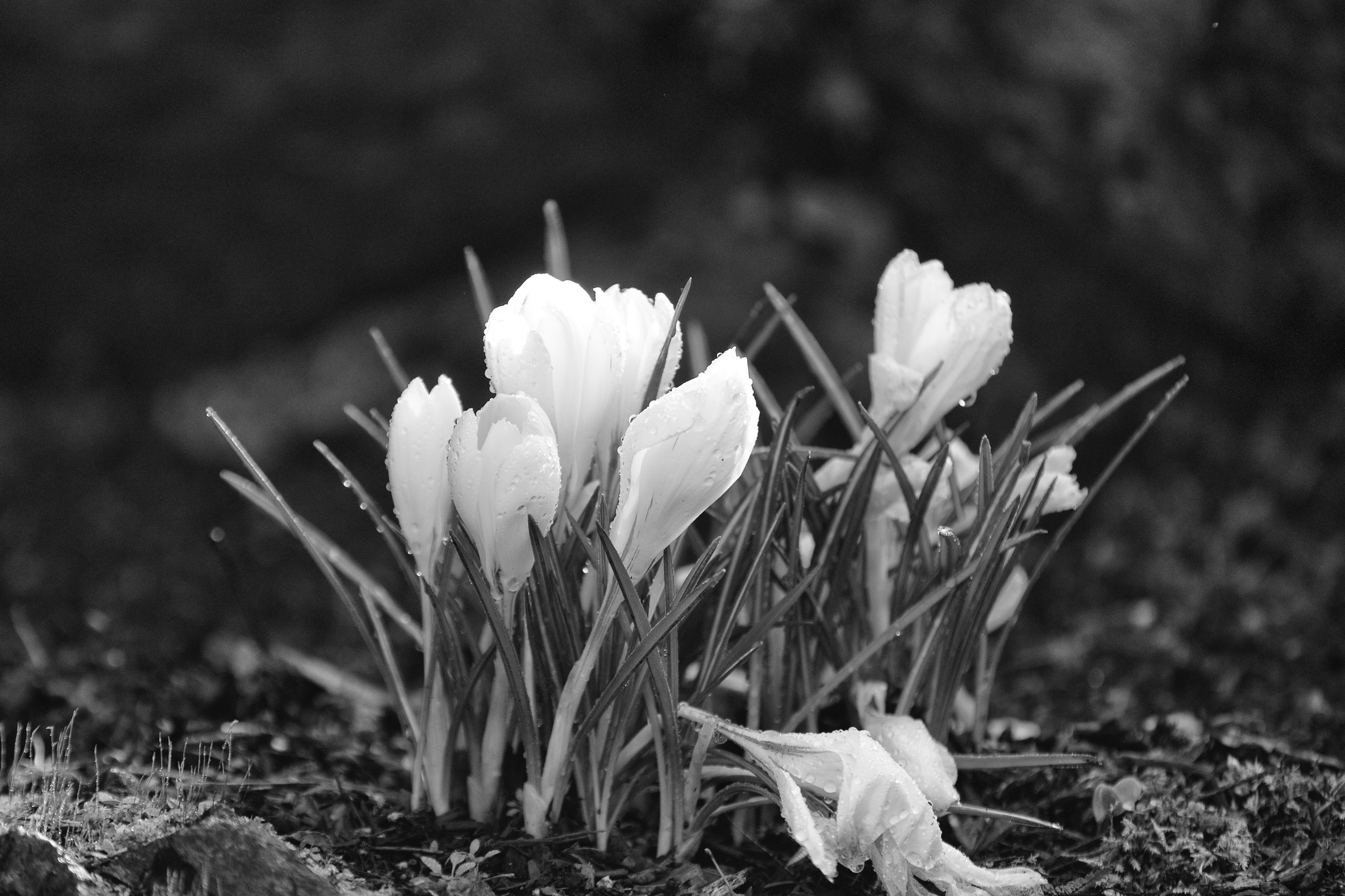 The mist gathers on delicate white petals. Canon 7D Mark II EF 70-200 2.8 at 200mm f/2.8 1/1250