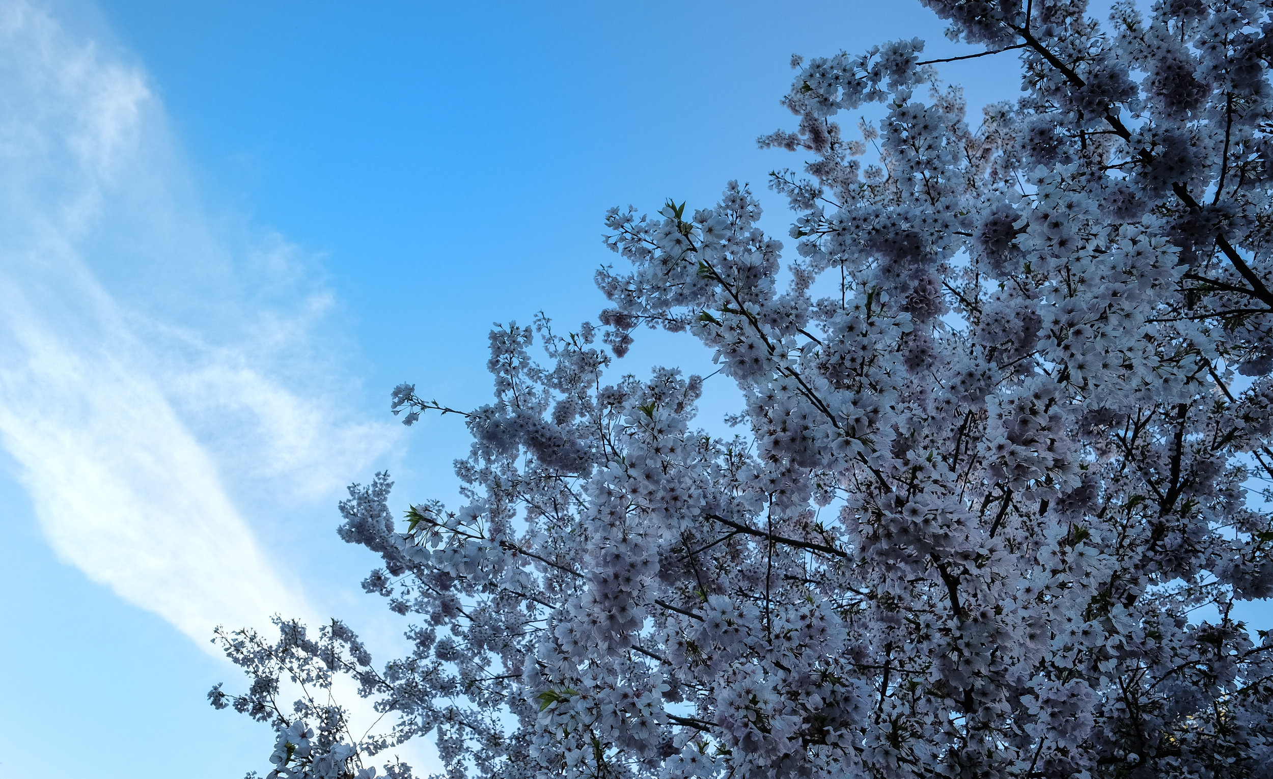 A canopy of cherry blossoms against a blue sky.  Fuji XE-2 XF 14mm 2.8 at f/6.4 1/400 ISO 400