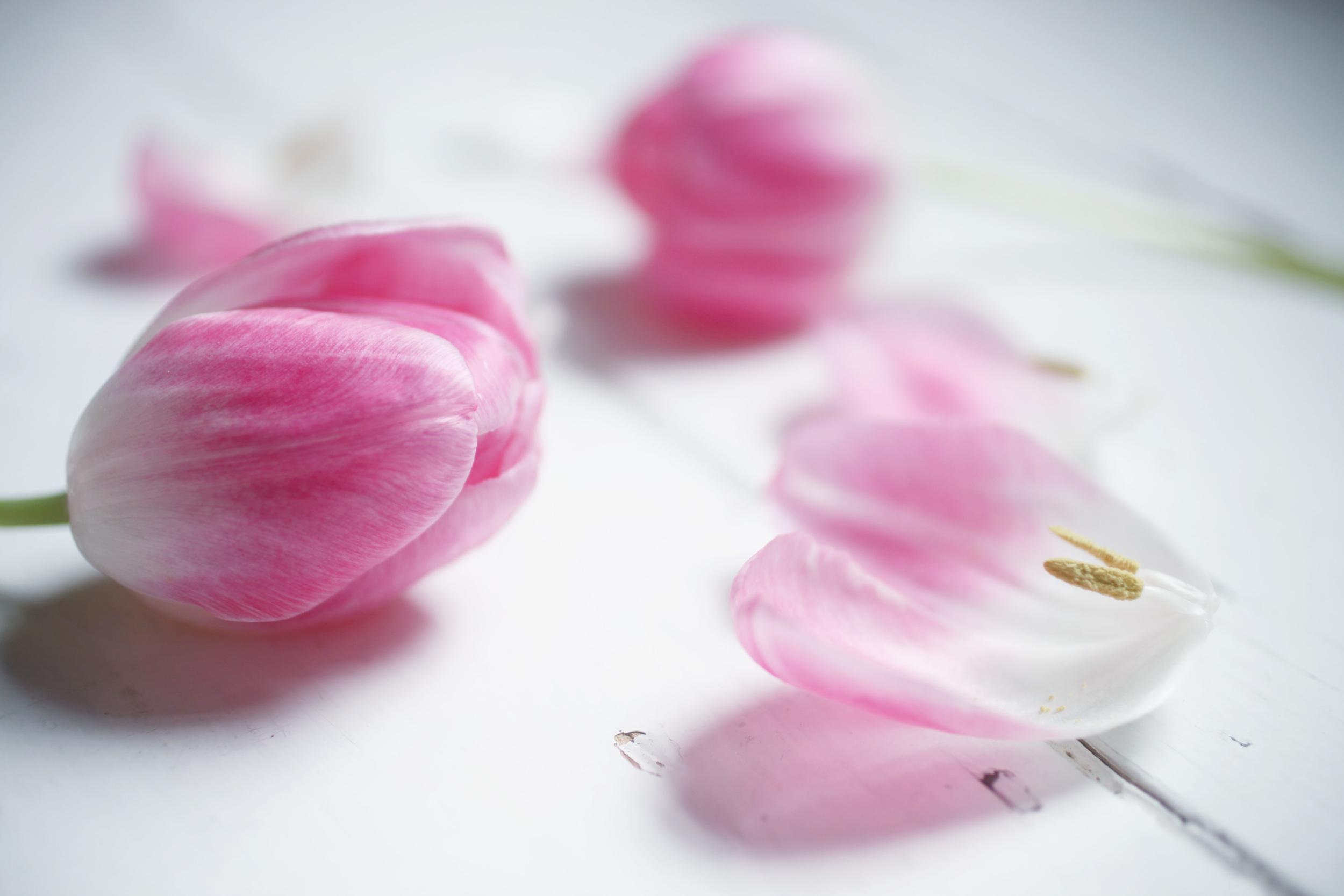 tulip 017.jpg