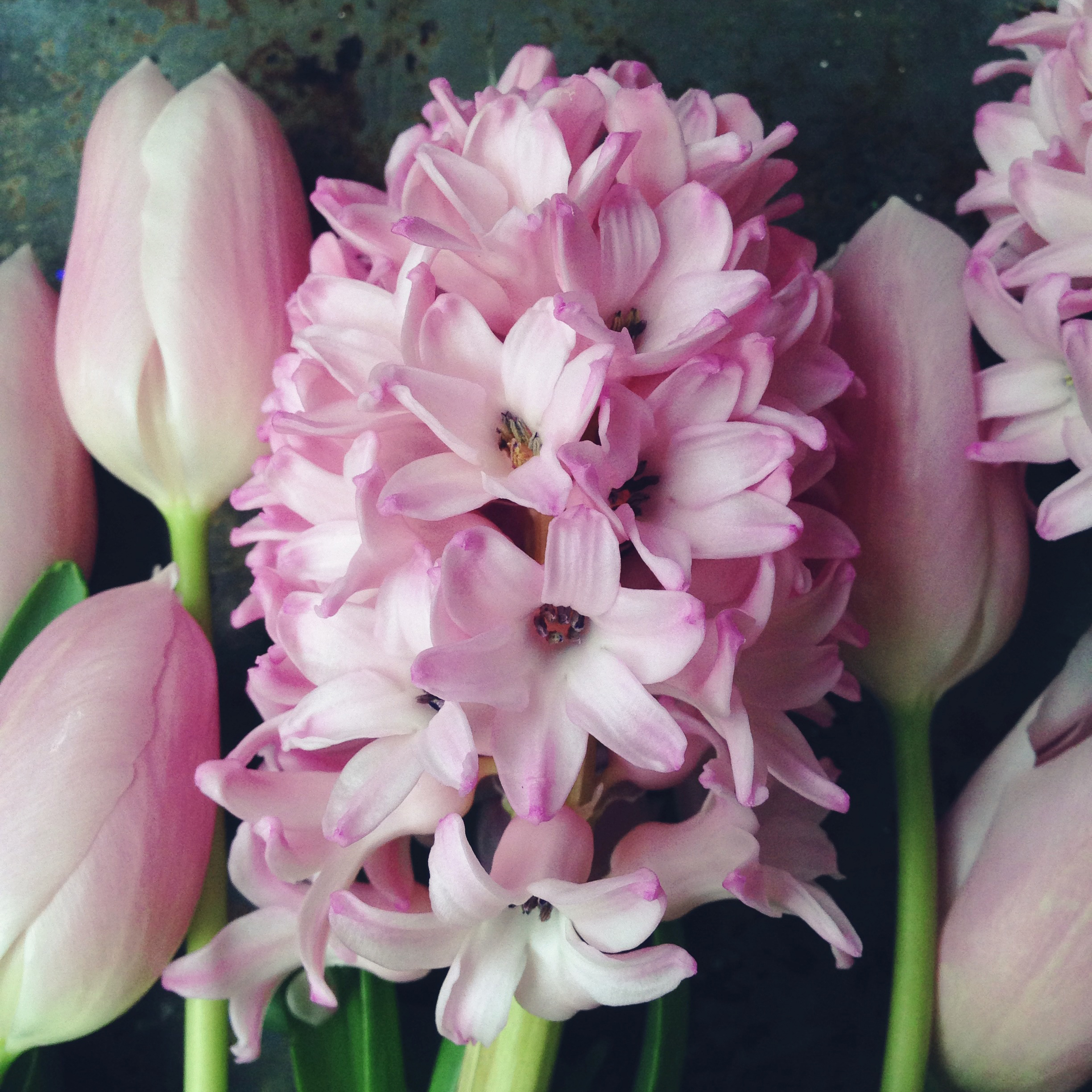 pink hyacinth and tulips