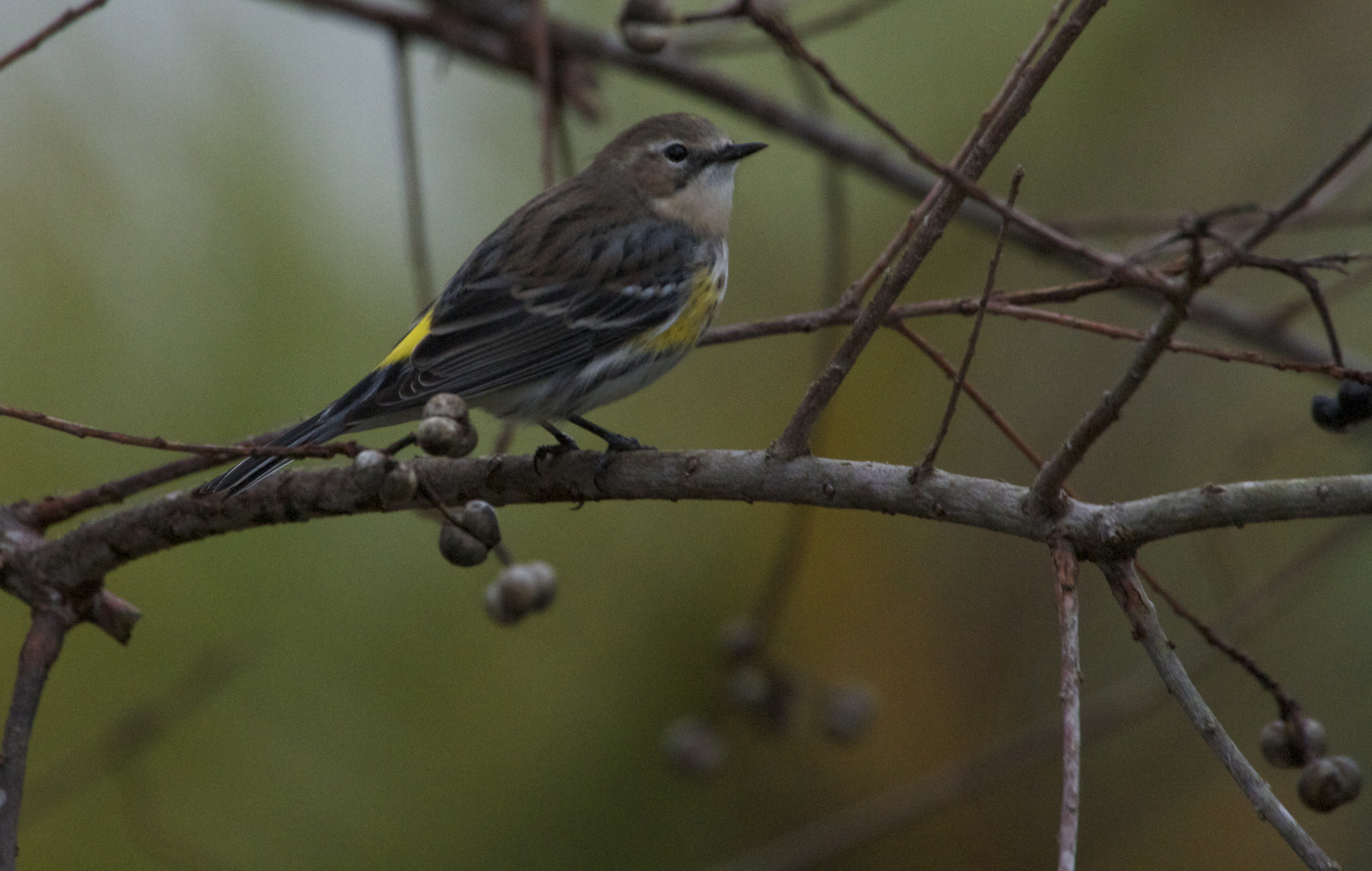 """Yellow Backed """"Myrtle Warbler"""