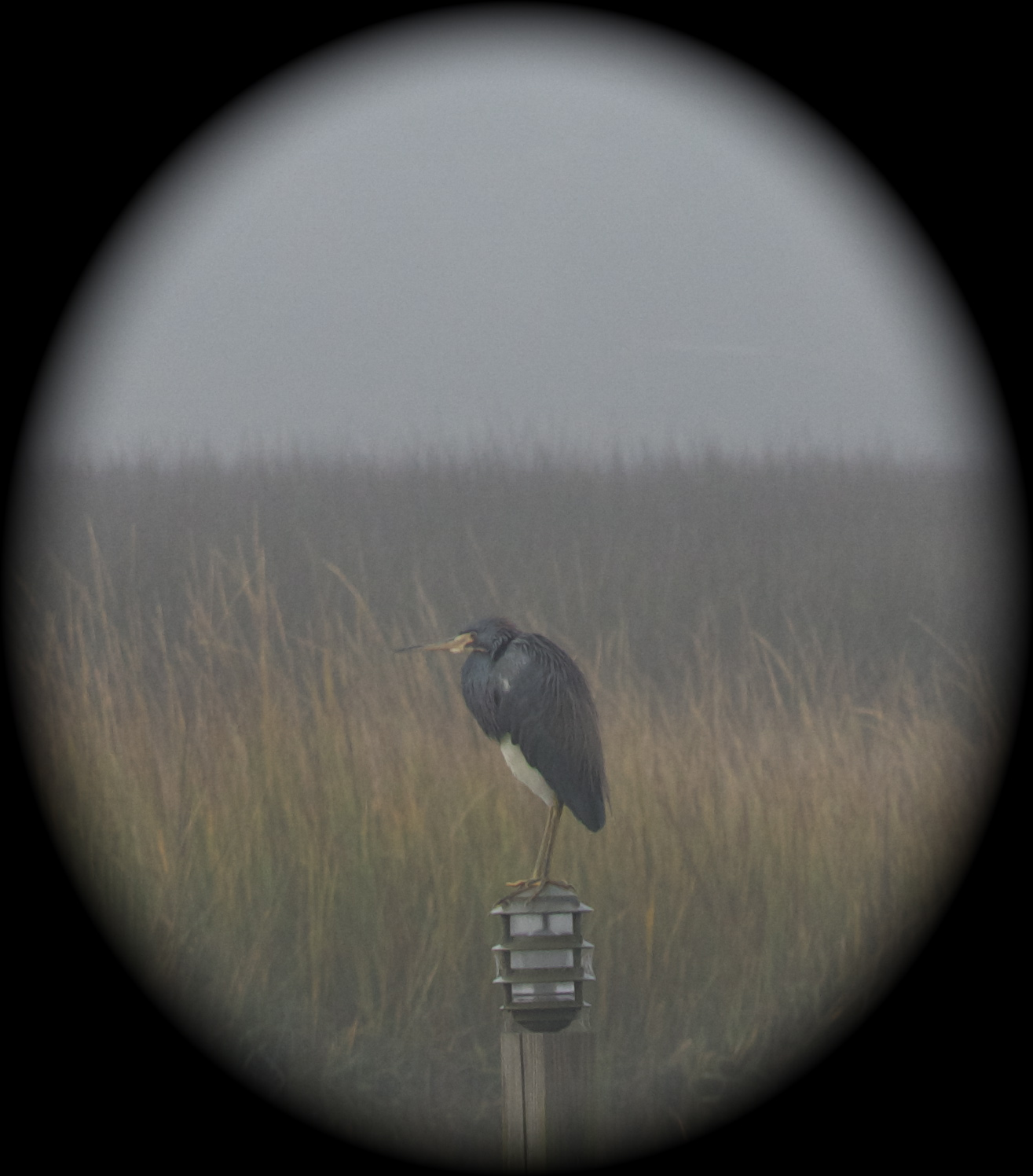 My Friend in the Fog, a tricolored heron.