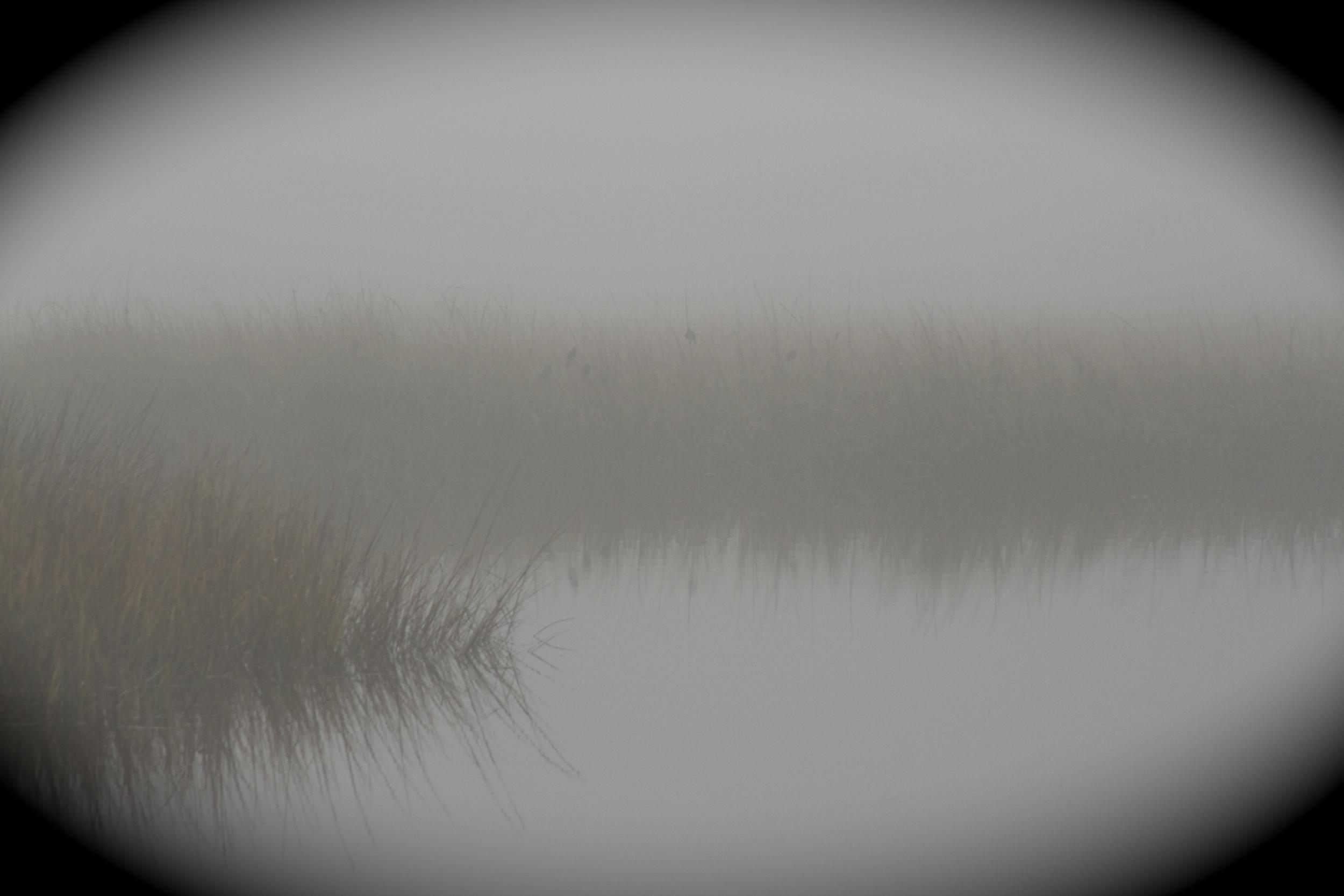 Red Winged Blackbirds in the white blanket fog.