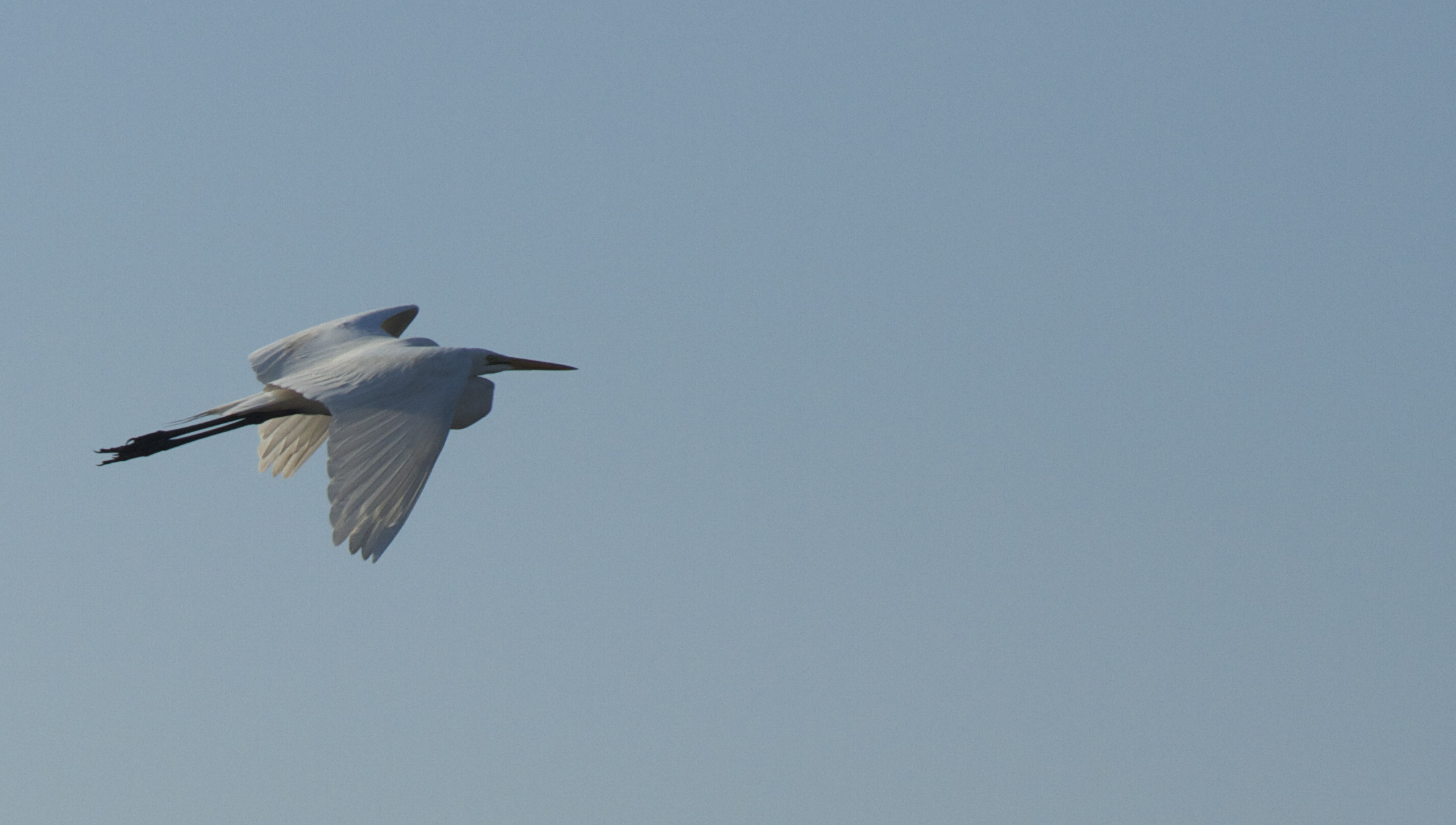 Angel  fly by, a Great Egret