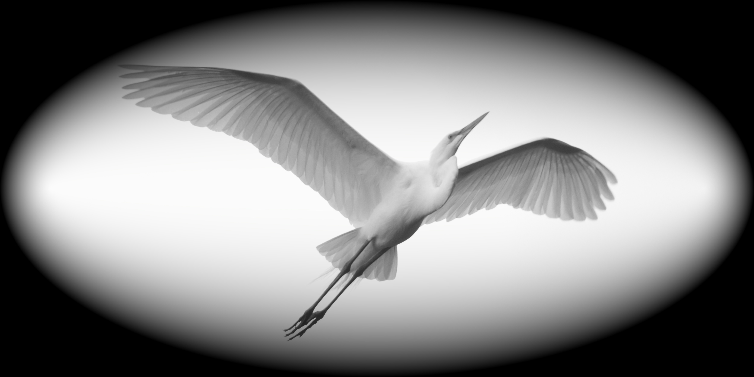 Great Egret glides overhead, the wings translucent against the sky.