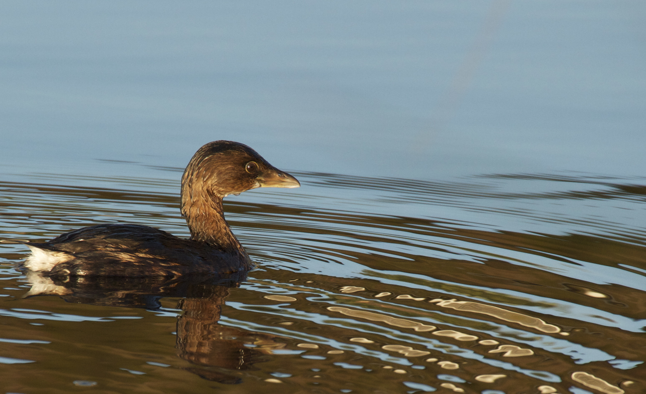 Pied Billed Grebe, a year round resident on the Broward and excellent at fishin!