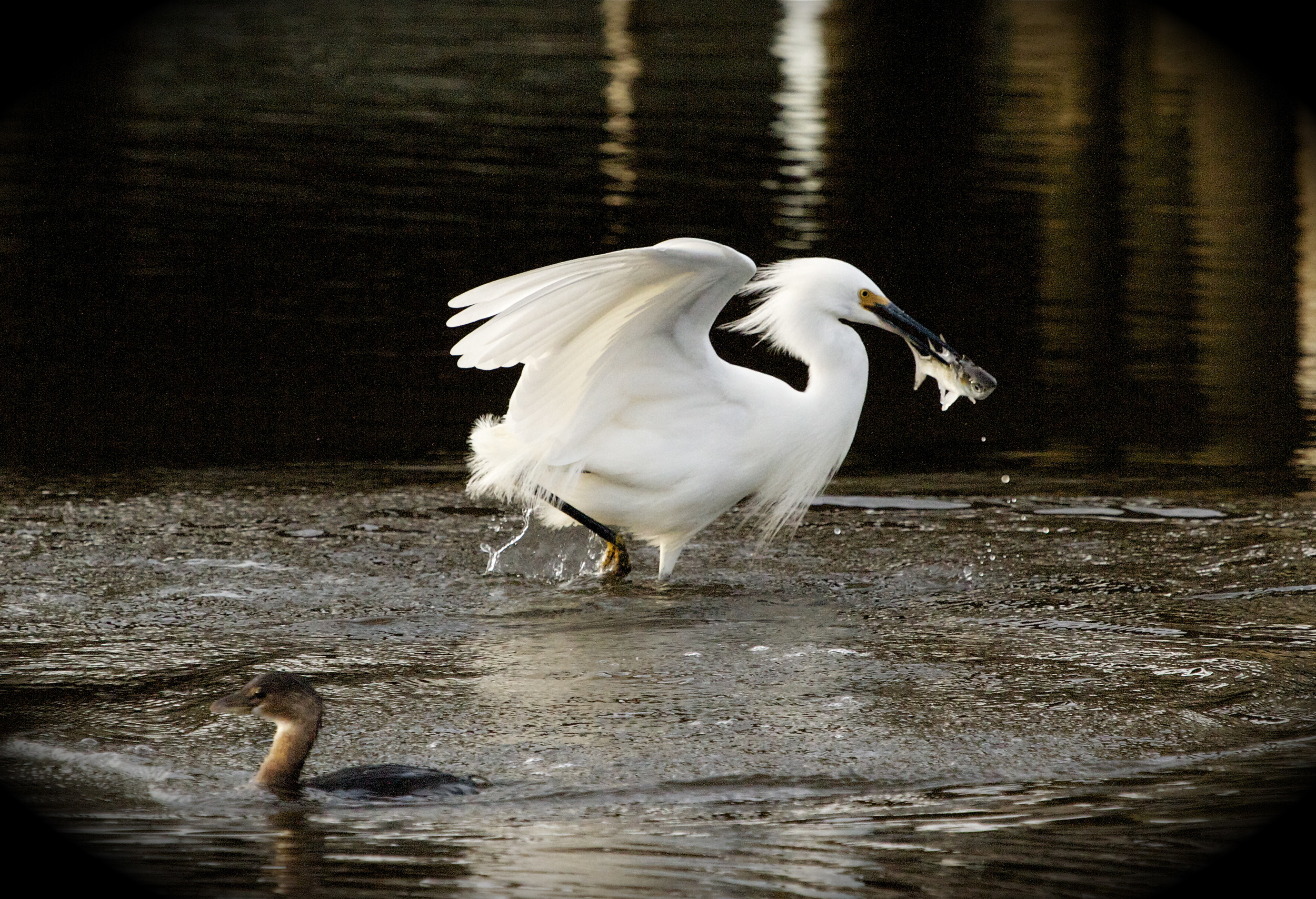 Snowy Egret with catch while the Grebe goes hungry (for a moment)!