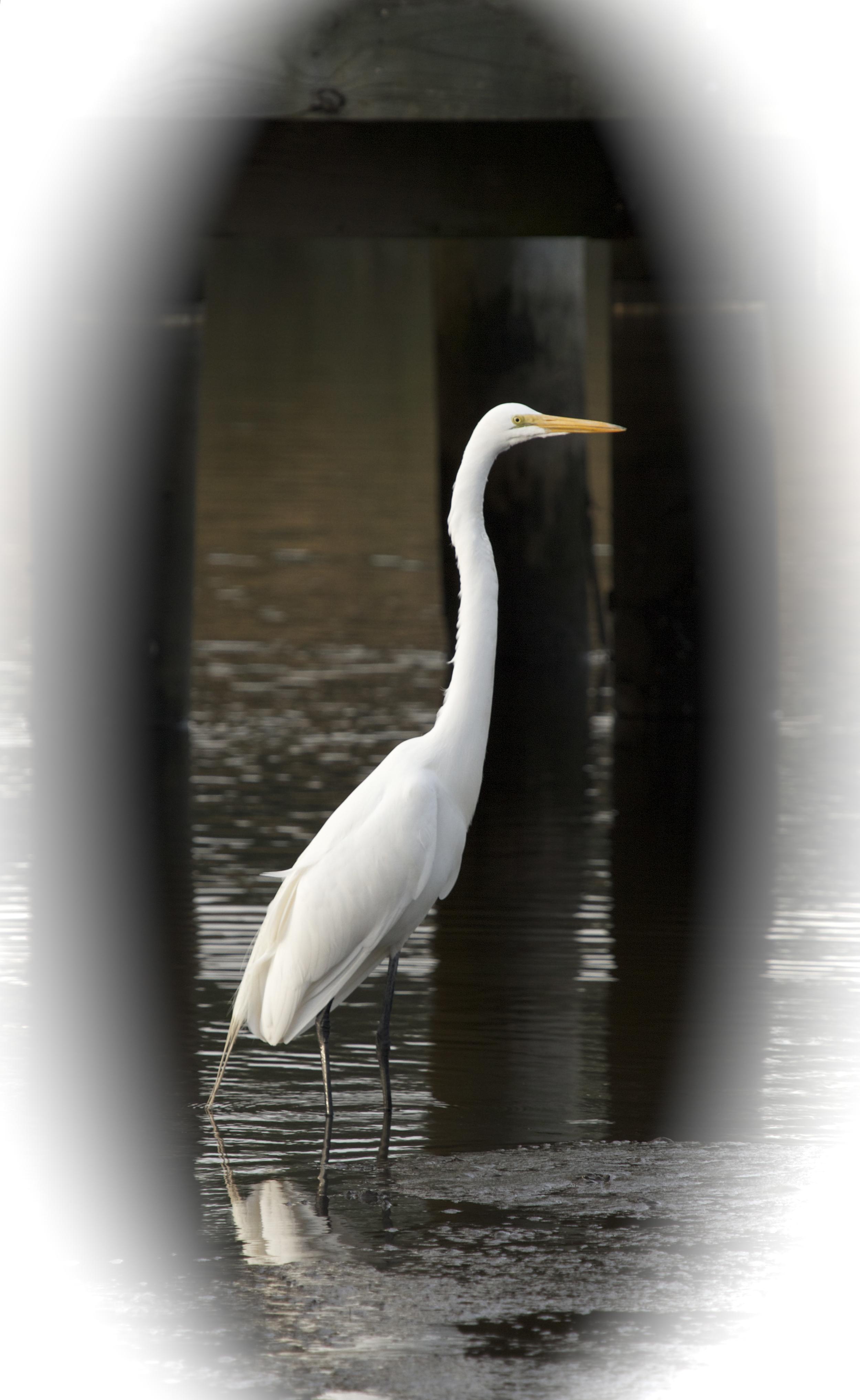 Great Egret checks out the menu.