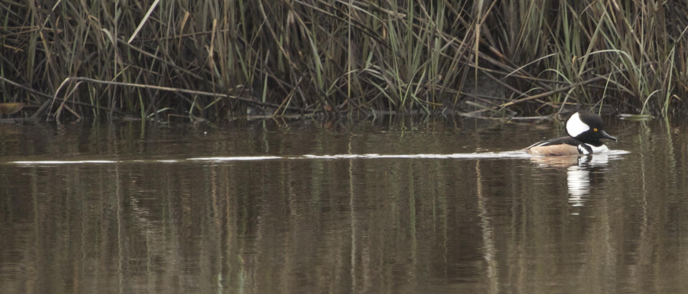 Male Hooded Merganser swims by fishin