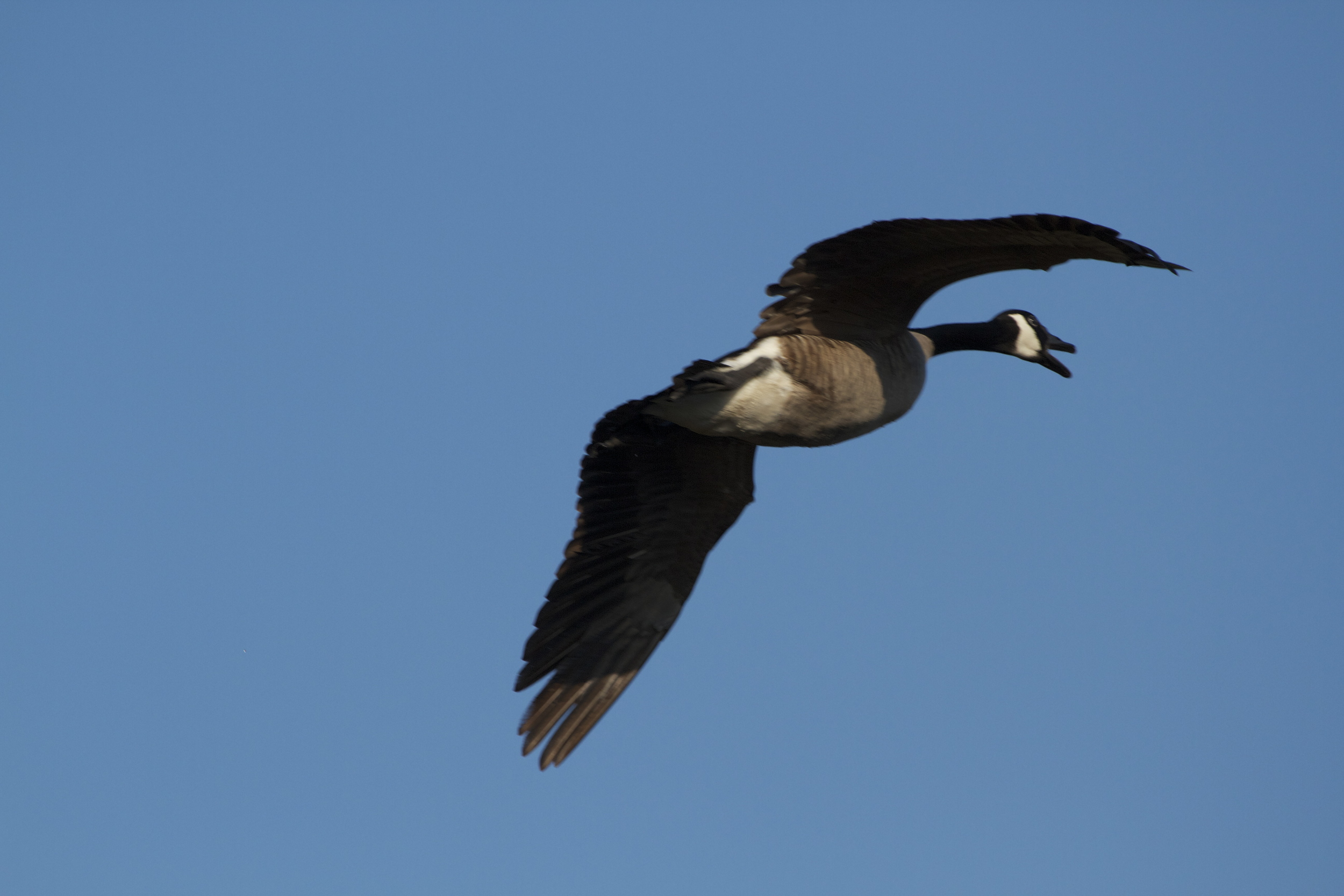 An incoming Canada Goose flies overhead.