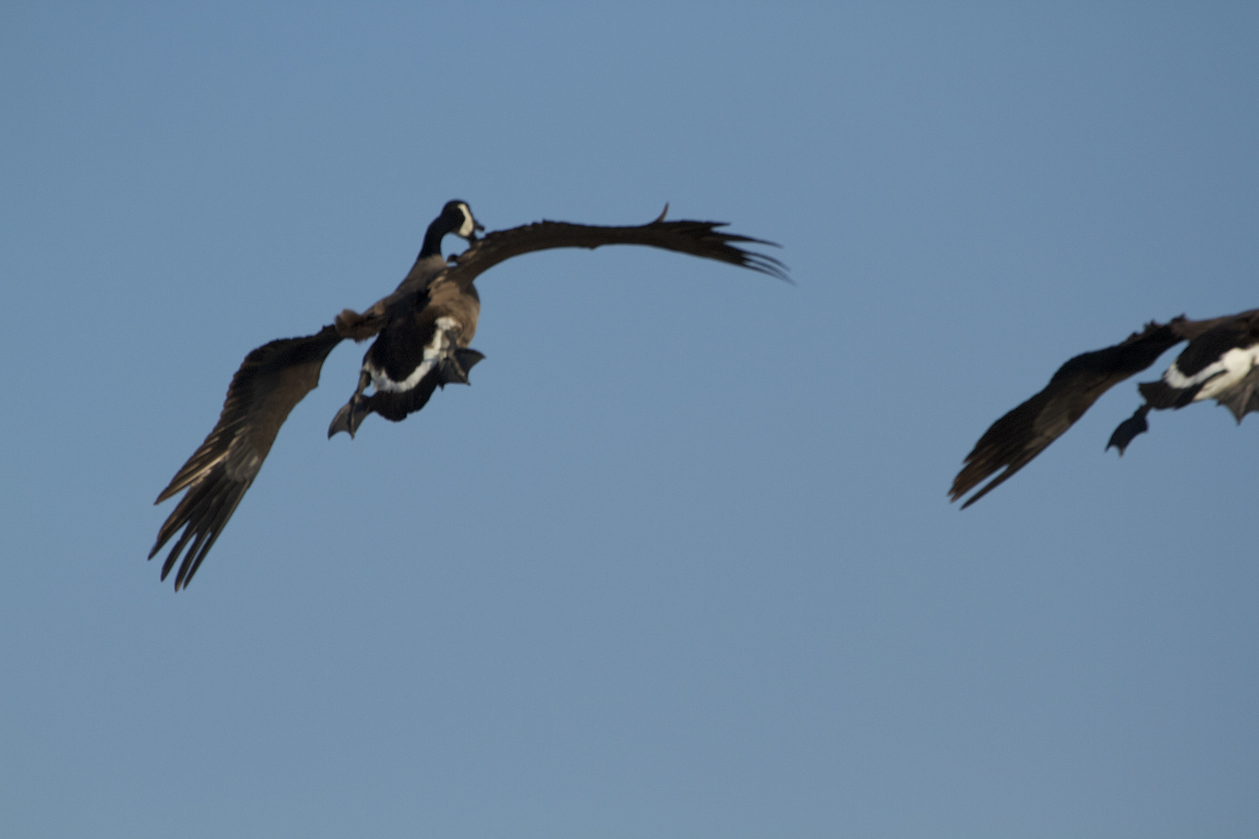 The goose encounters some turbulence and adjusts..