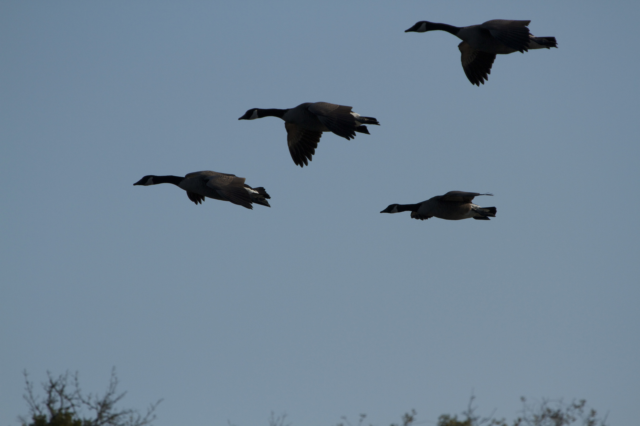 "A flight of inbound Canada geese appear like ""bombers"" returning to the airfield."