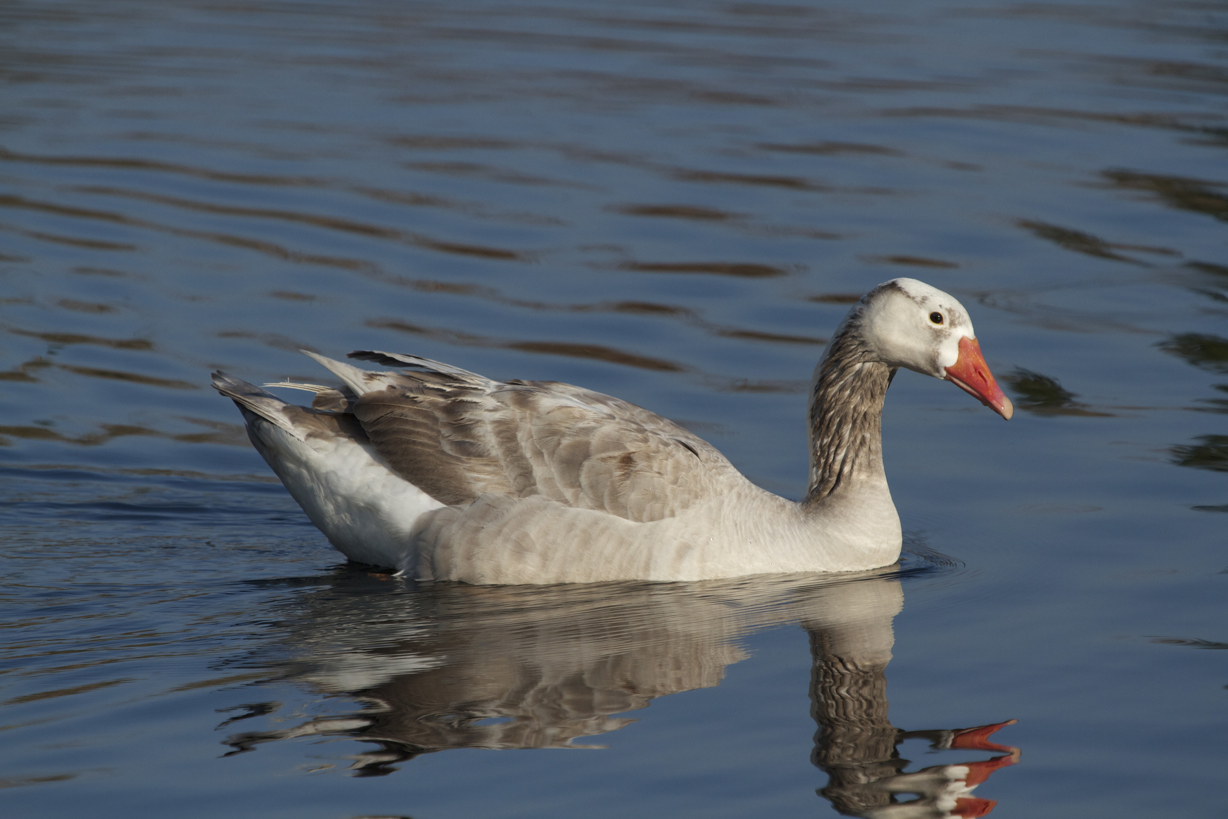 Today's performance of SWAN LAKE on Goose Pond is brought to you by me, Gray Goose!.