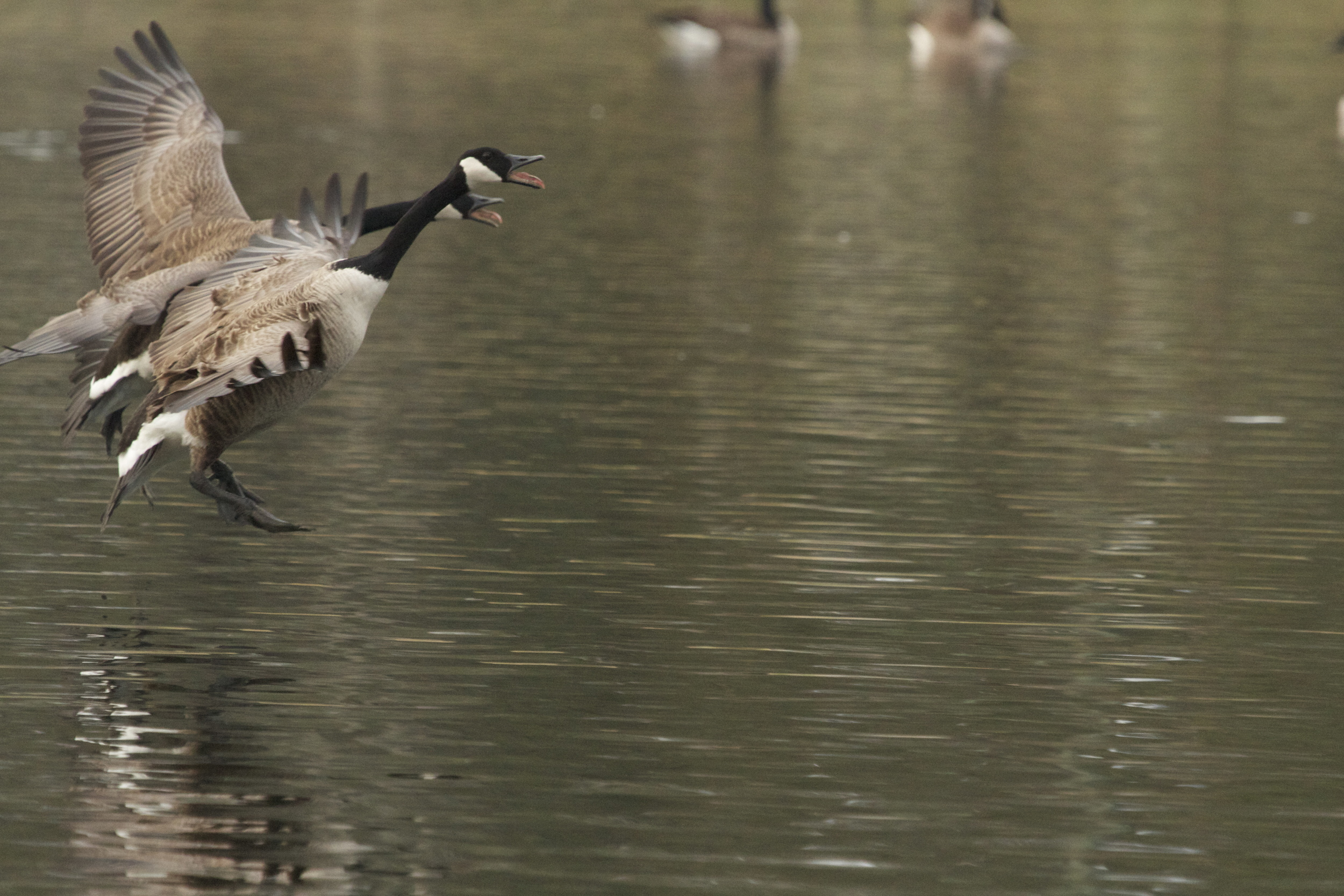 Look Ma! I'm a Swan...
