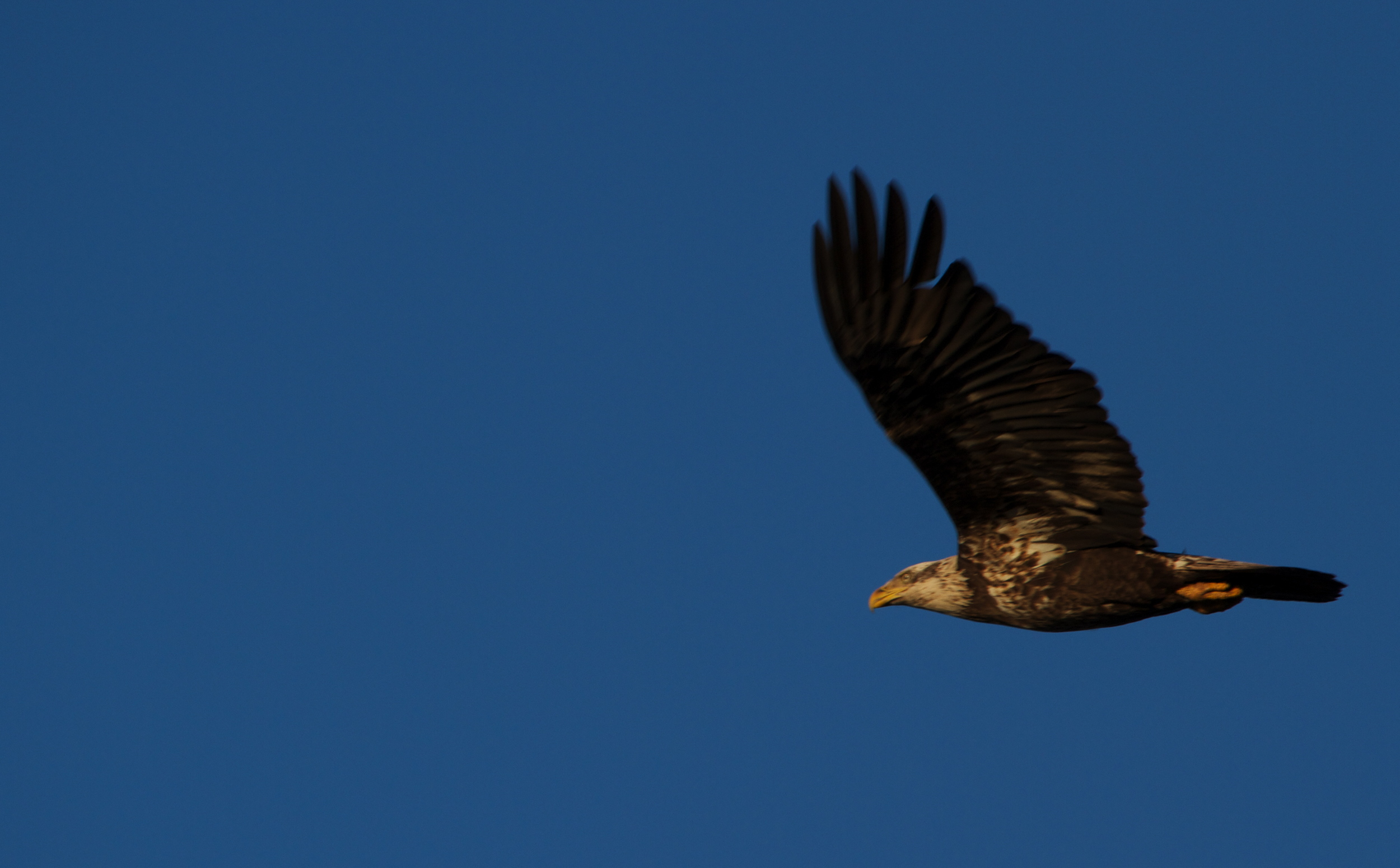 Early morning fly by of a juvenile Bald Eagle.