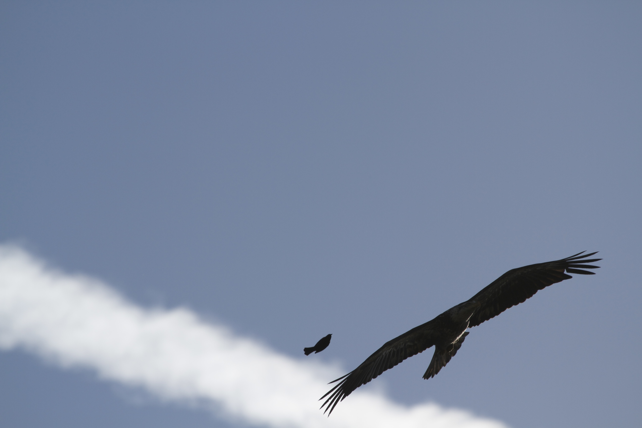 A very brave (or foolhardy)  Red Winged Blackbird buzzes the eagle.