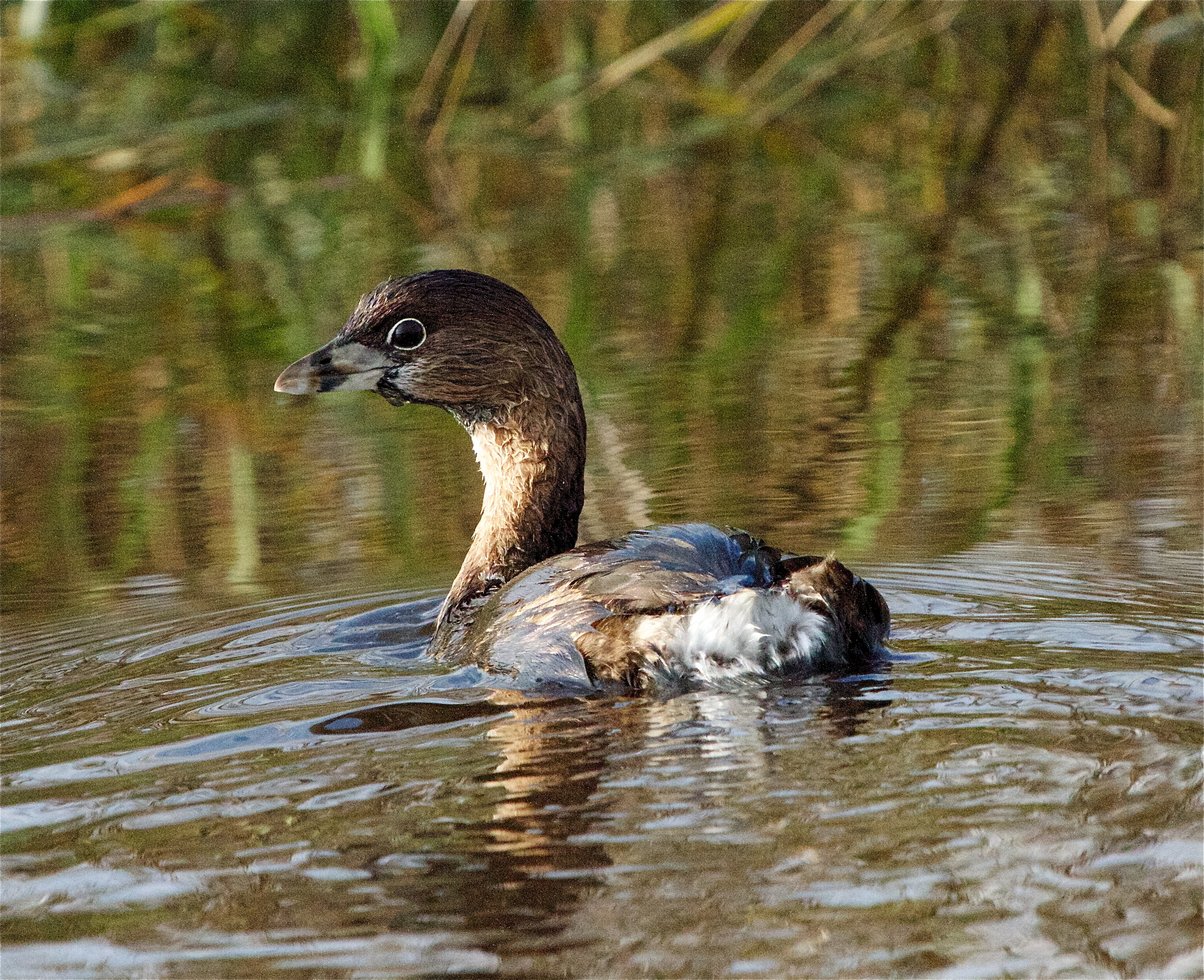 A Pied Billed Grebe emerges from the marsh sporting its mating beak stripe and white eye ring.
