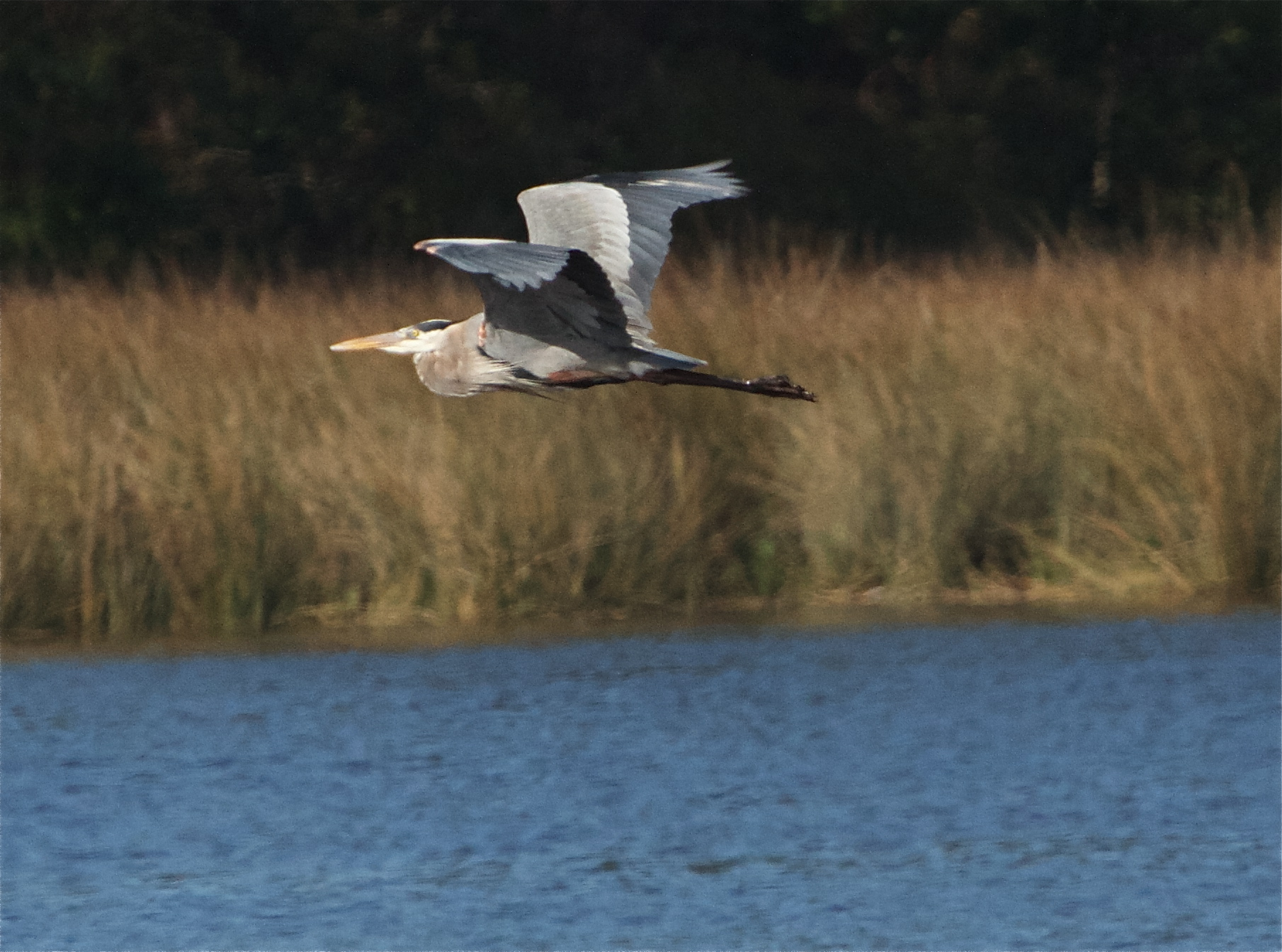 Old Man River, the great blue heron takes wing!