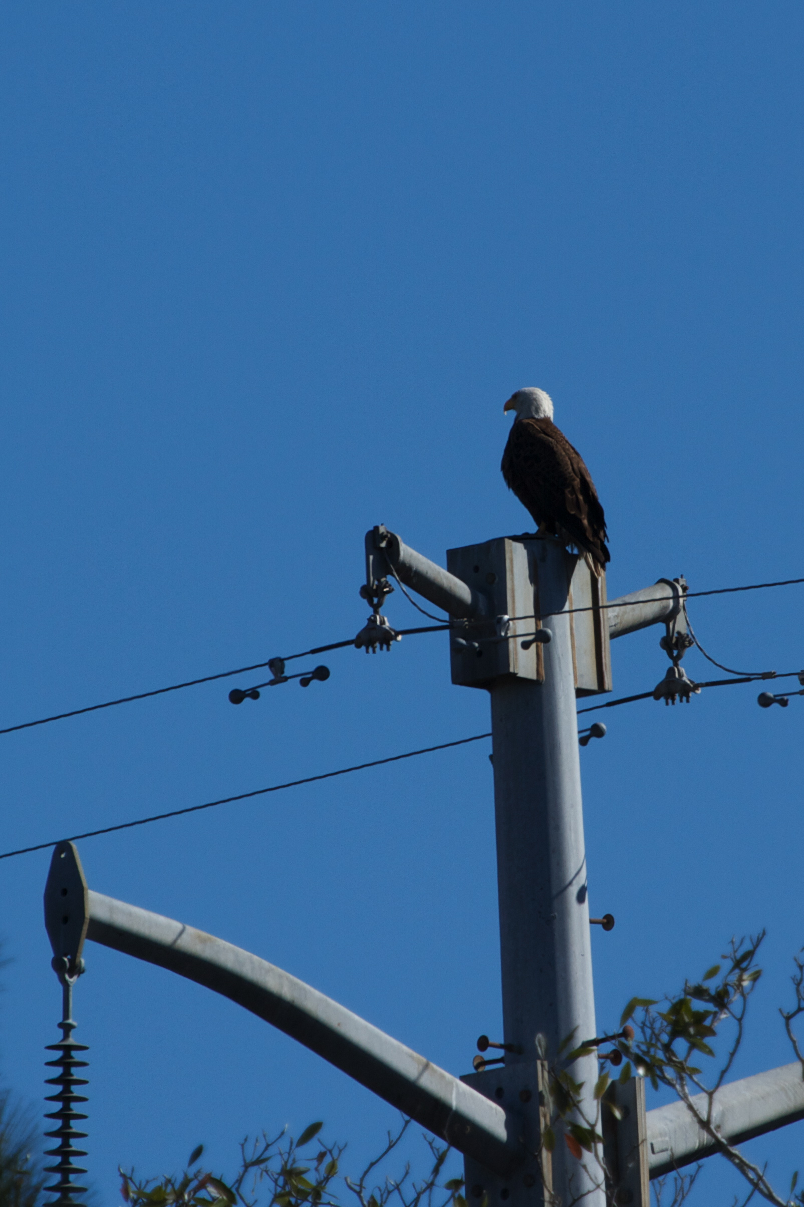 The Bald Eagle keeps an eye on Goose Pond!