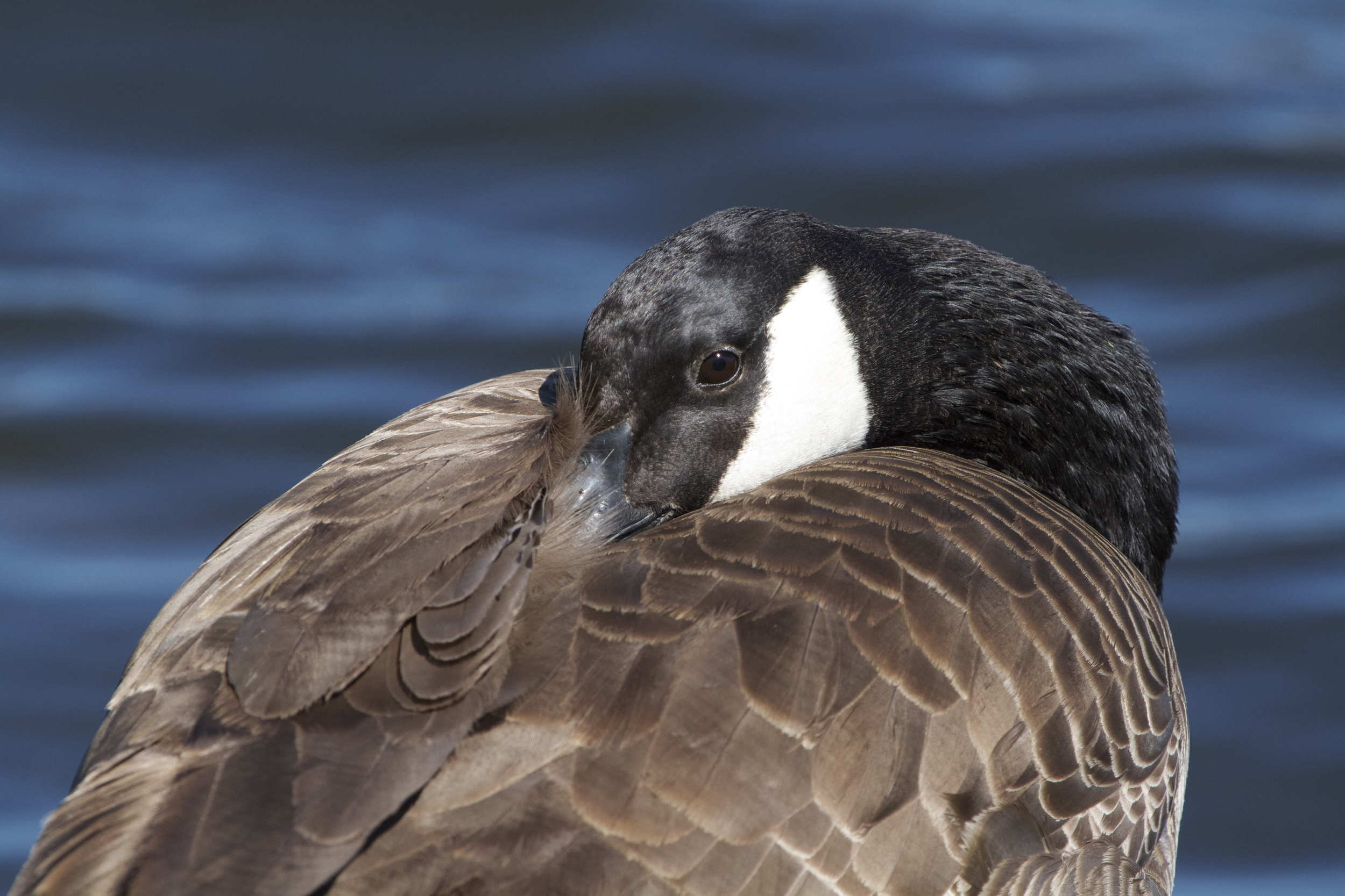 A Canada Goose naps at my feet.