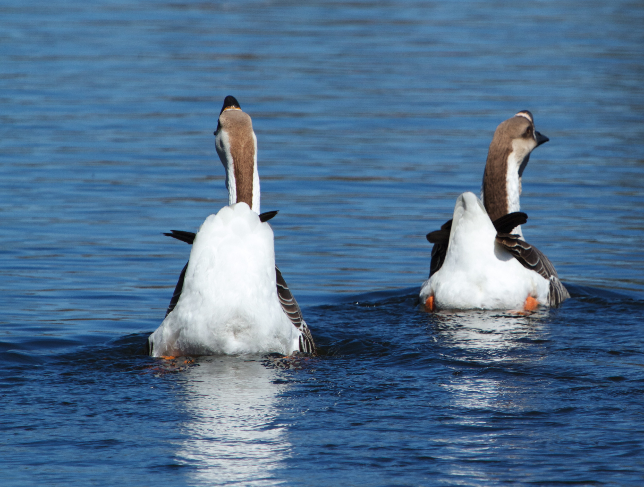 The domestic geese wave their tails goodbye!