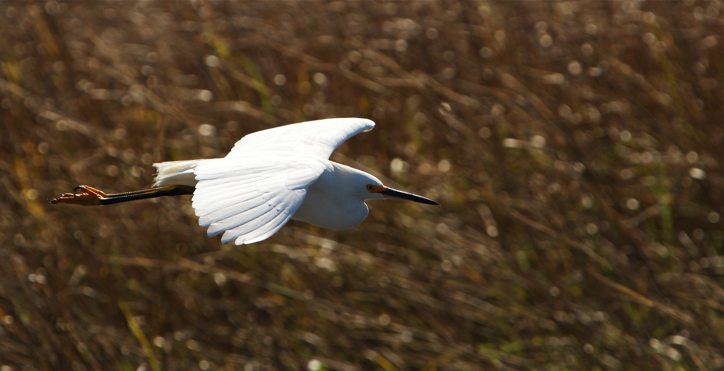 Snowy Egret wings by, the sunlight bright on its wings.