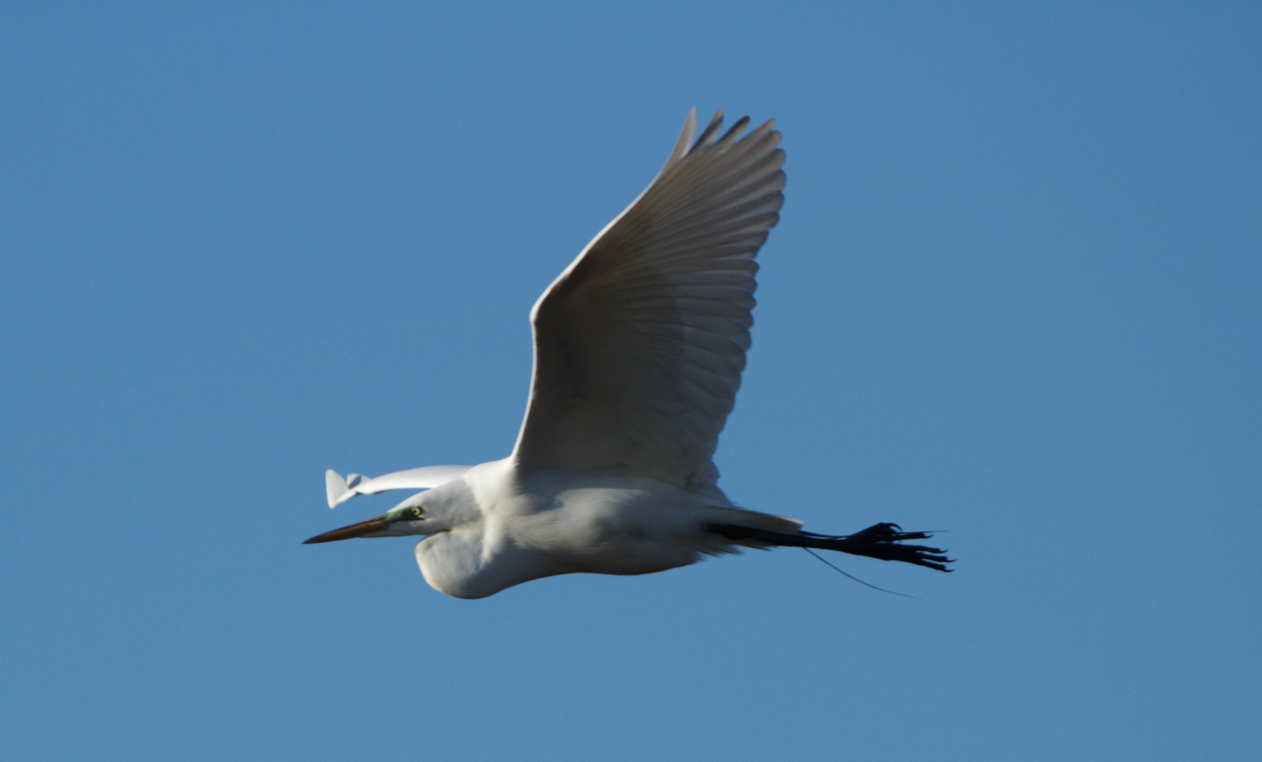 A Great Egret greets the morning on wing.