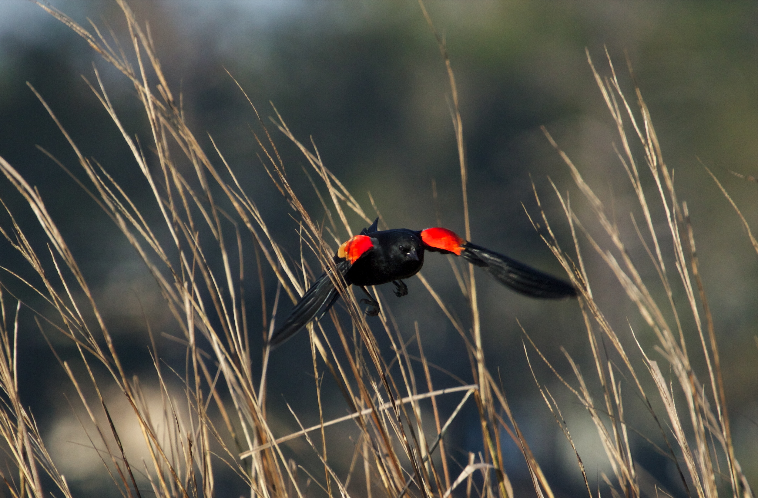 Red Winged Blackbird flashes a warning at a rival on wing.
