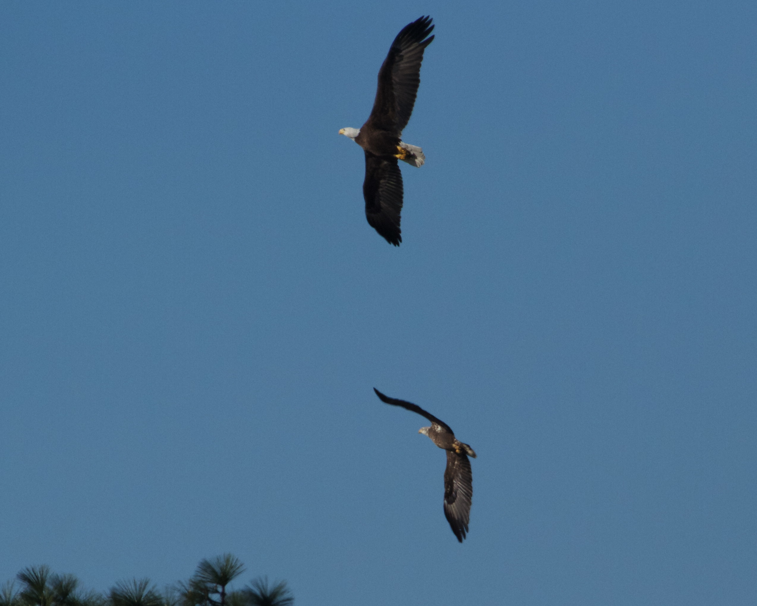 An adult Bald Eagle and Juvenile practice aerobatic maneuvers over the Broward.