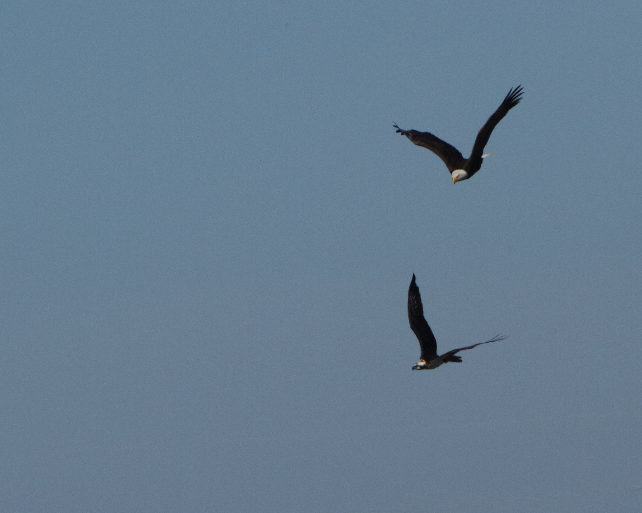 The adult gives chase. The Osprey dives and swoops.