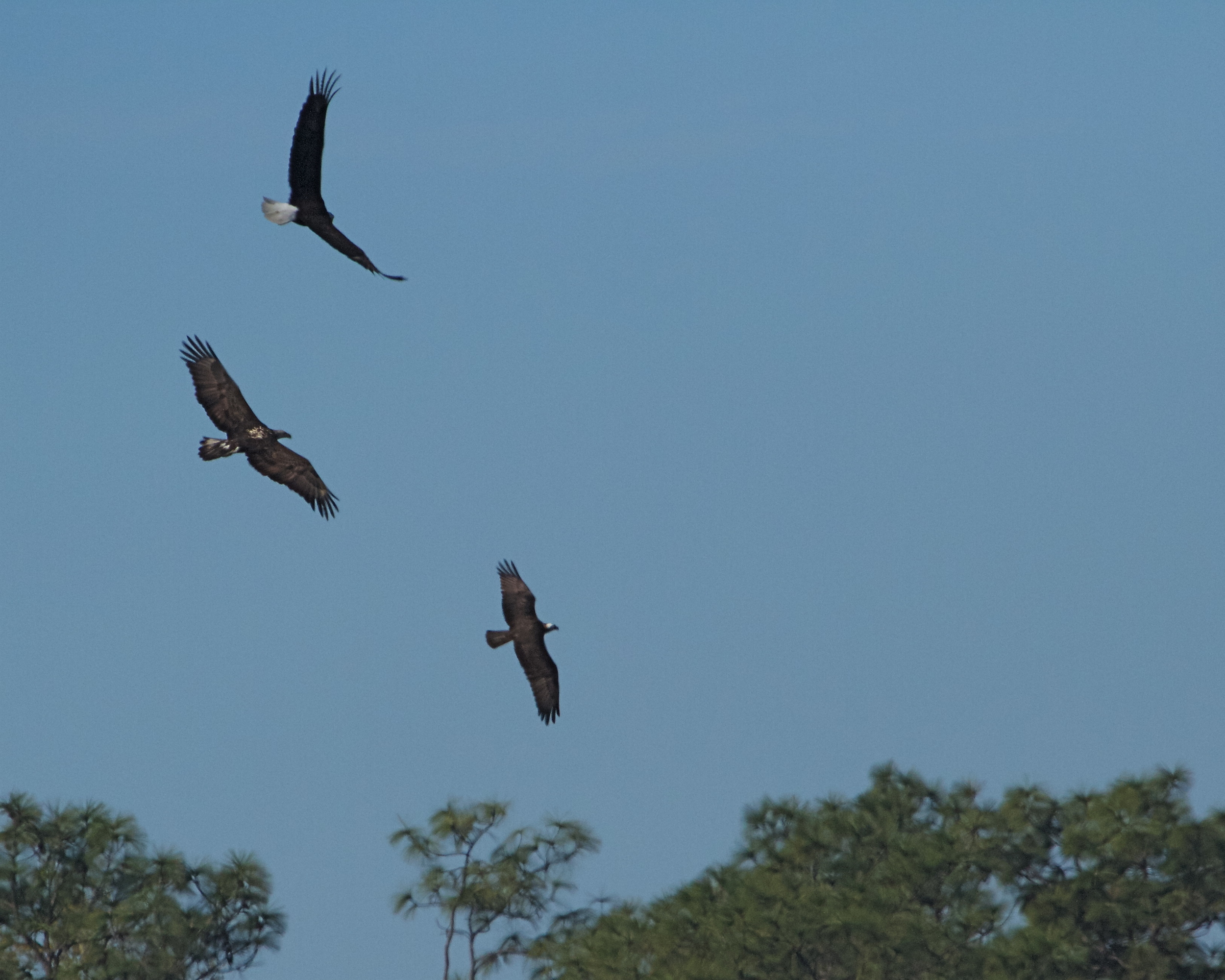 """Now Junior swoops in, """"Et too Brutus"""" seems to say the Osprey!"""
