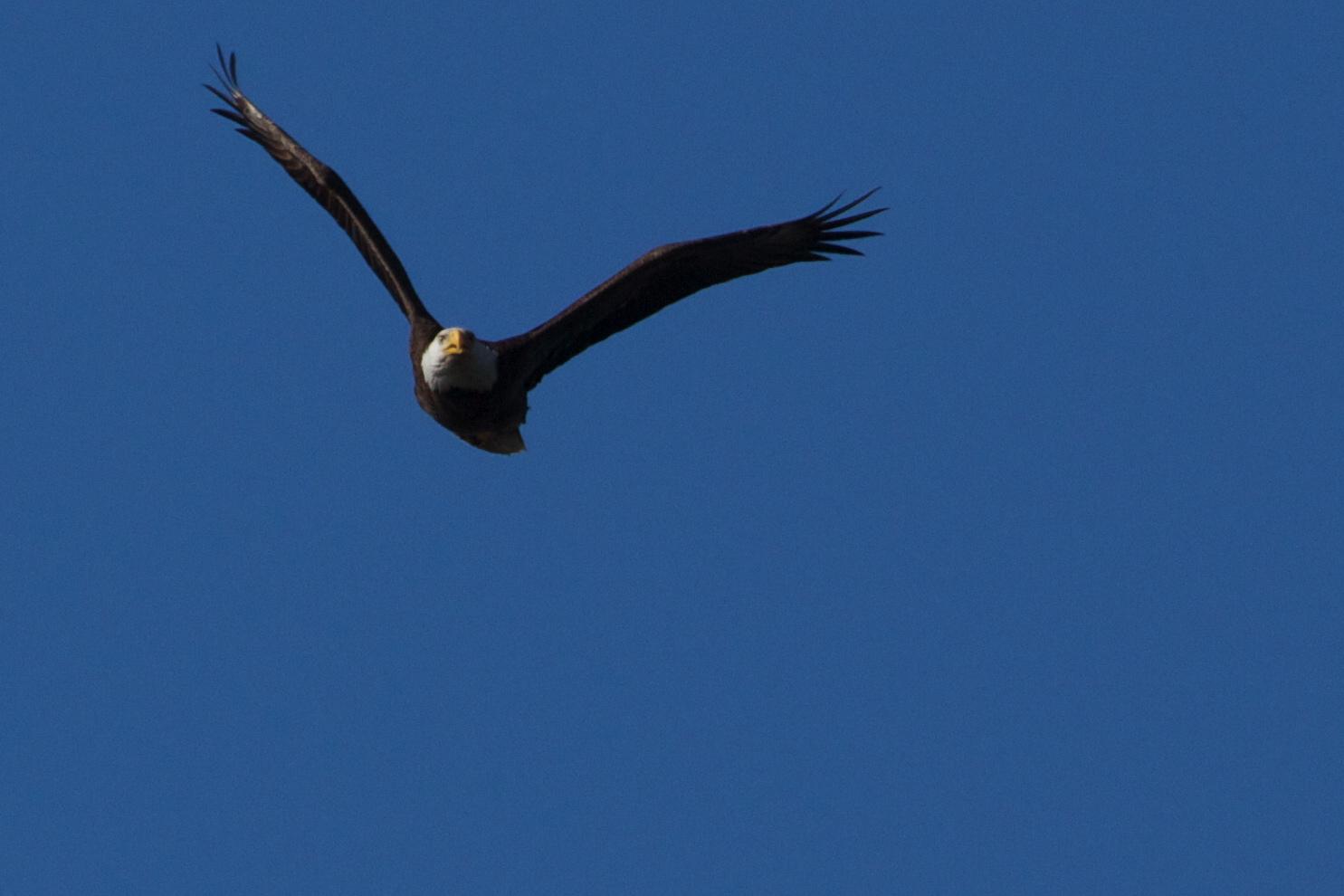Eagles on the Broward!