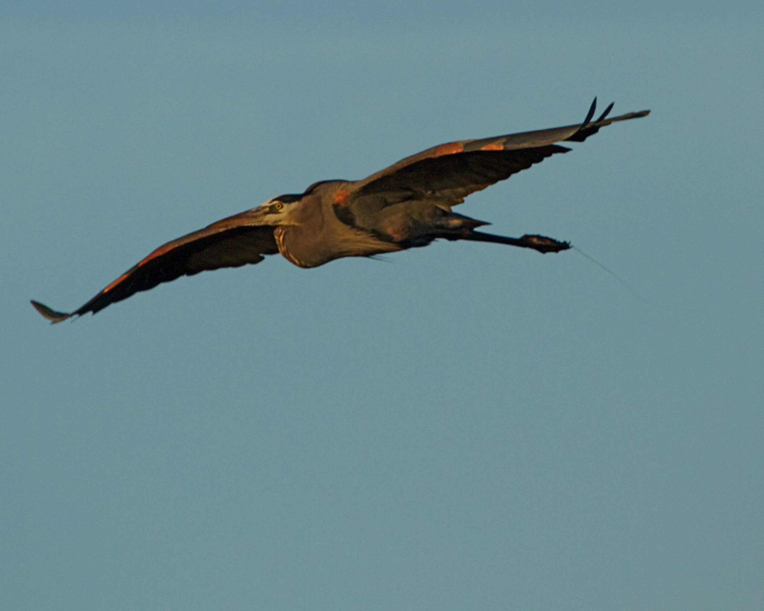 The Patriarch of the Broward, Old Man River the Great Blue Heron spreads his massive wings.
