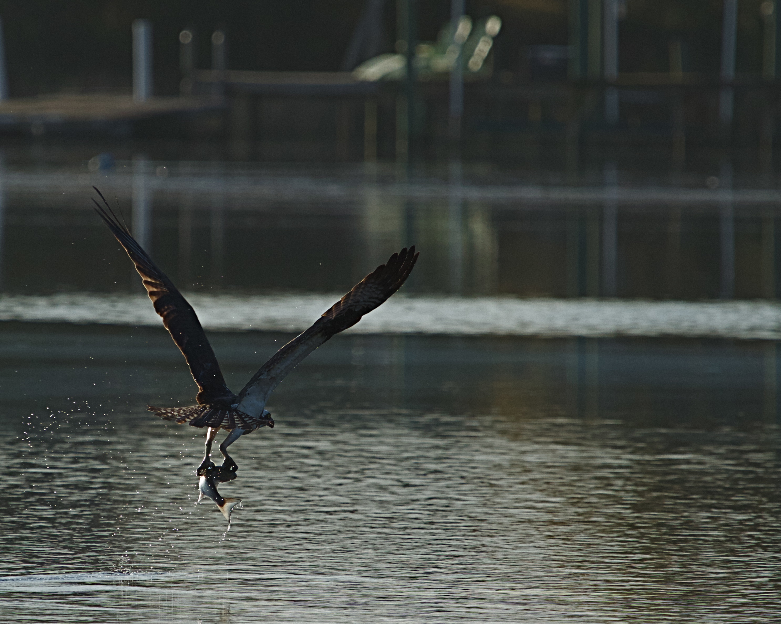 An Osprey lifts its morning catch from the river.