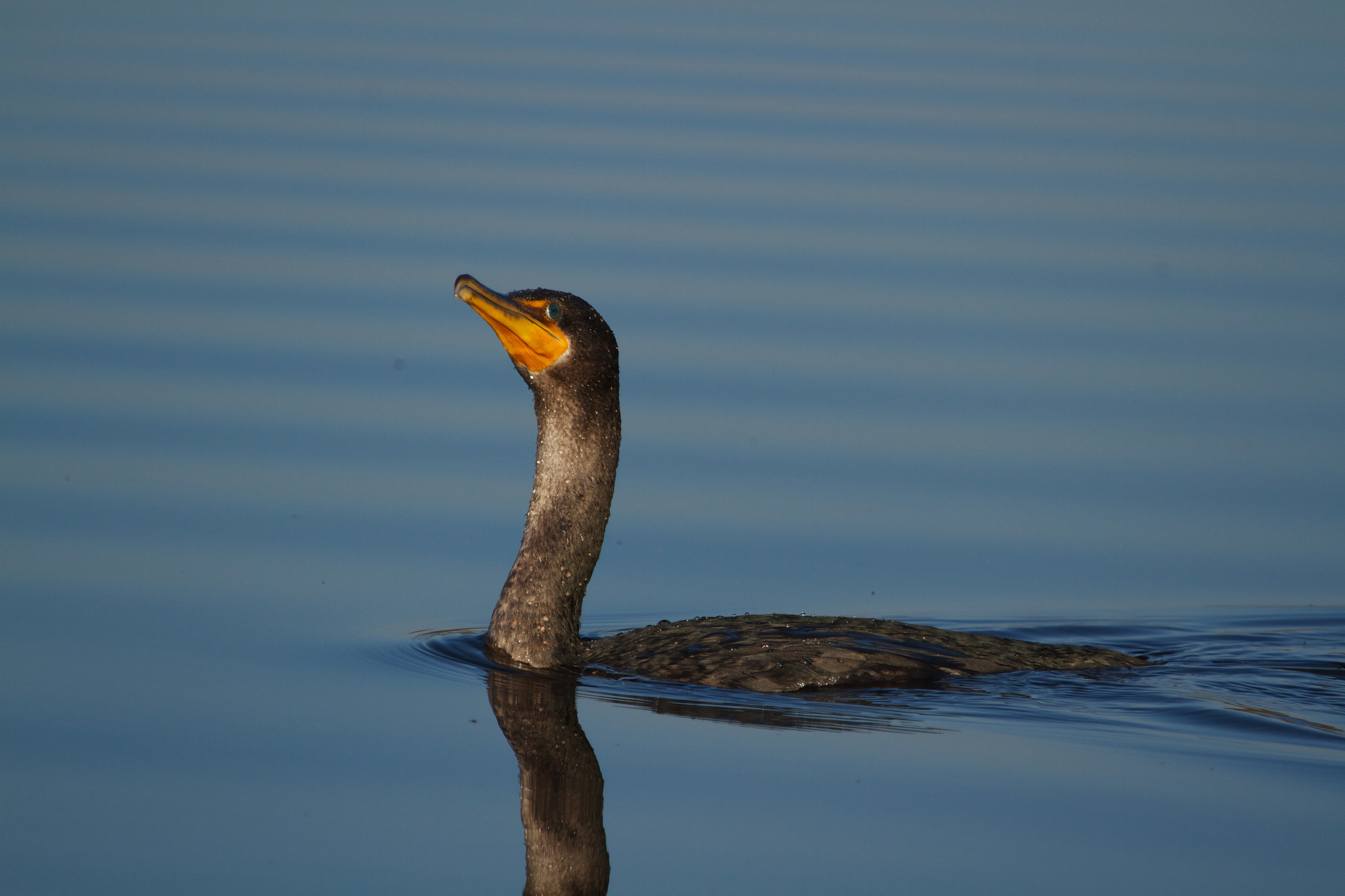The cormorant looks up and declares it looks like spring!