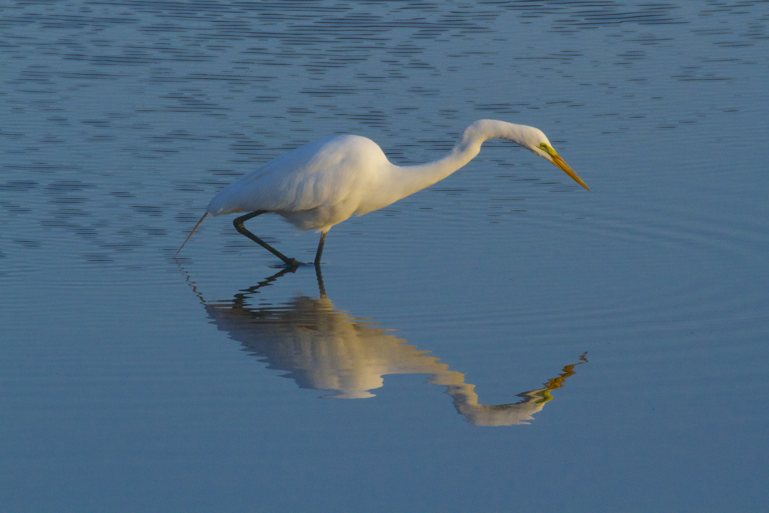 The Great Egret peers into the Broward. It is Spring it declares!