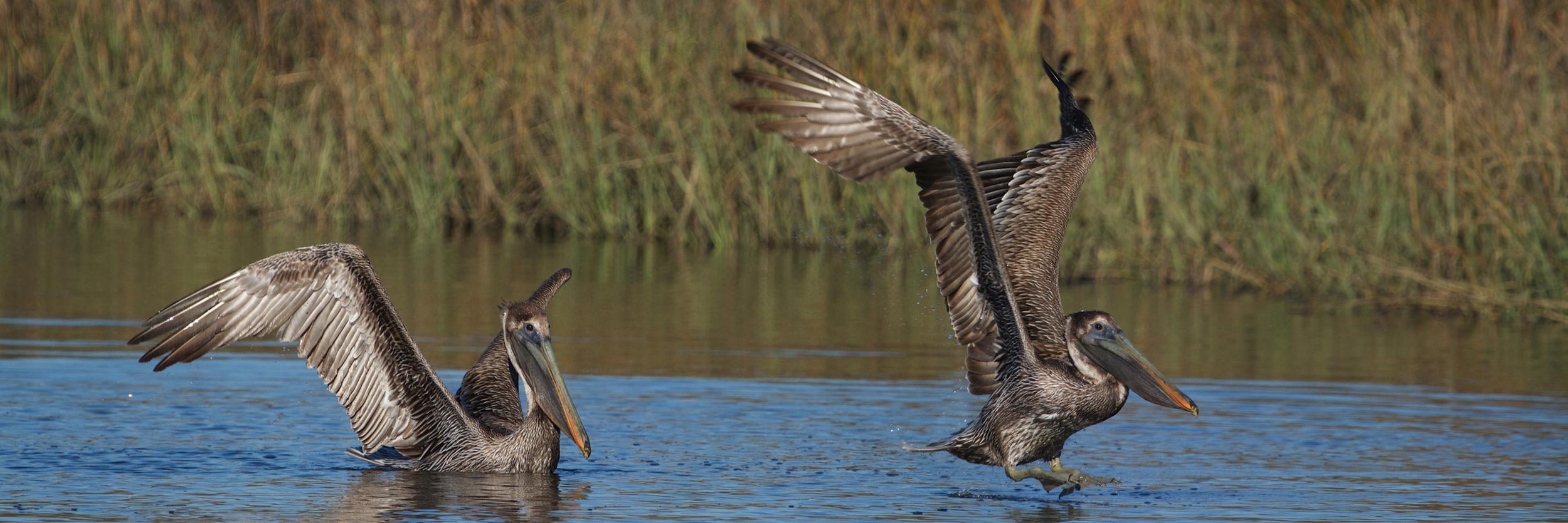 It is SPRING declares the Brown Pelican!