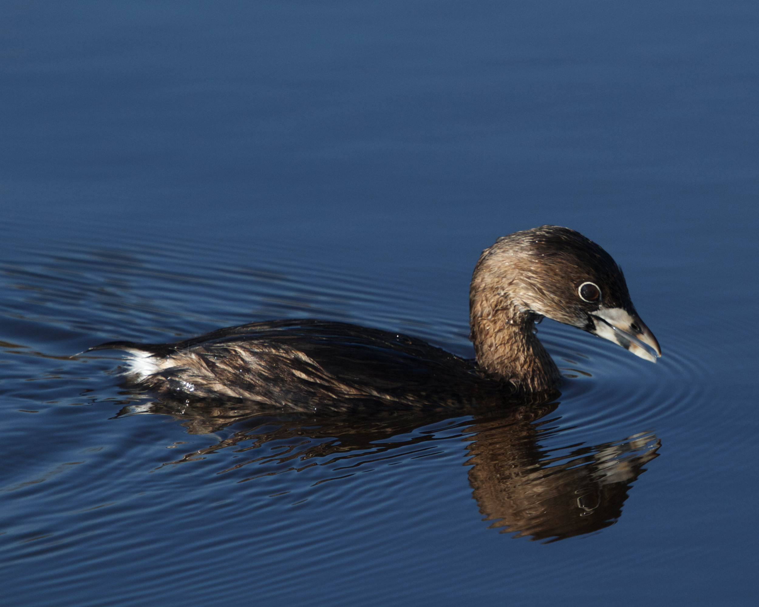 The Pied Billed Grebe says lemme see!