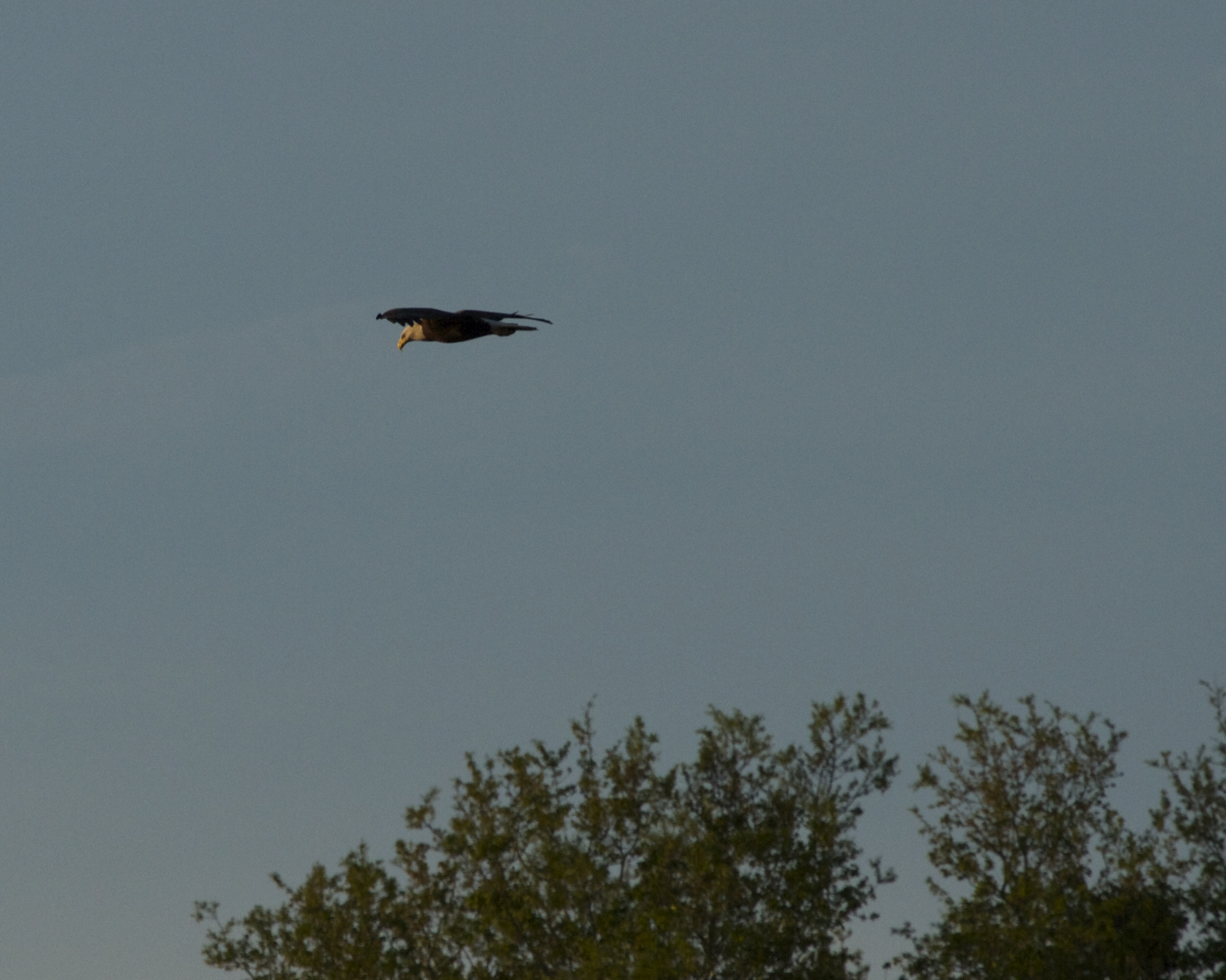 The eagle glides over the Broward.