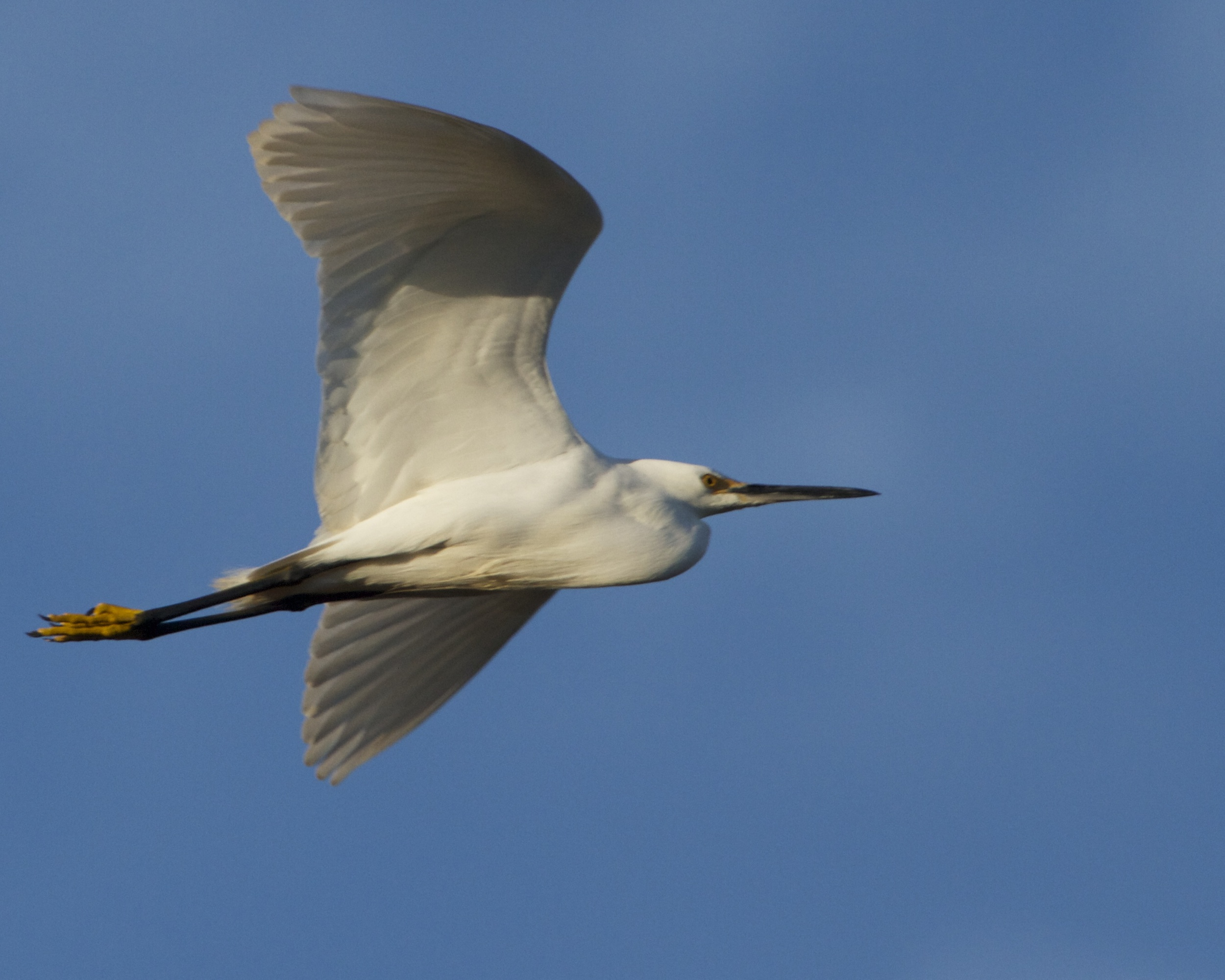 The Snowy Egret catches the sunrise on its wings.