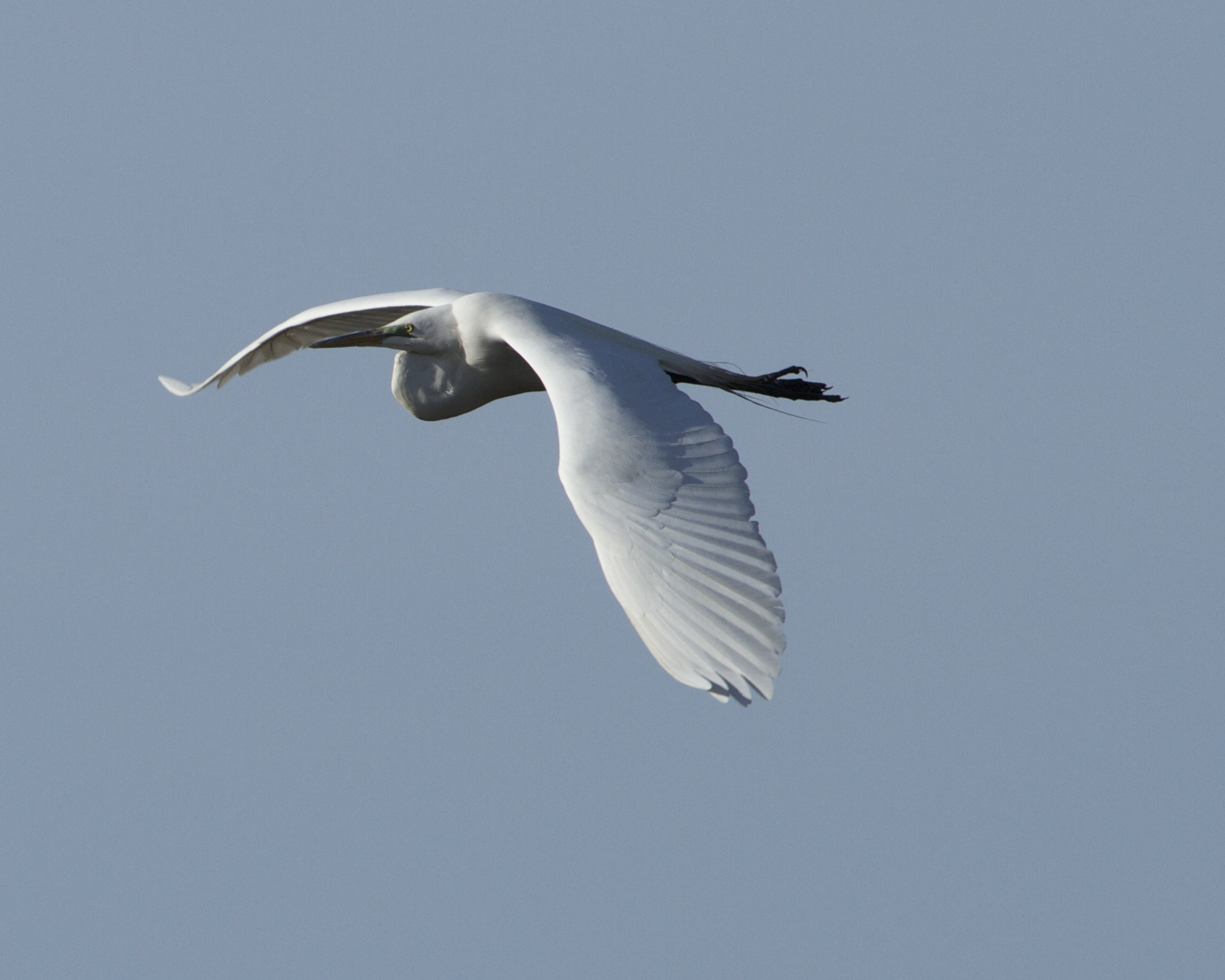The Great Egret catches the morning sun on borad white wings.