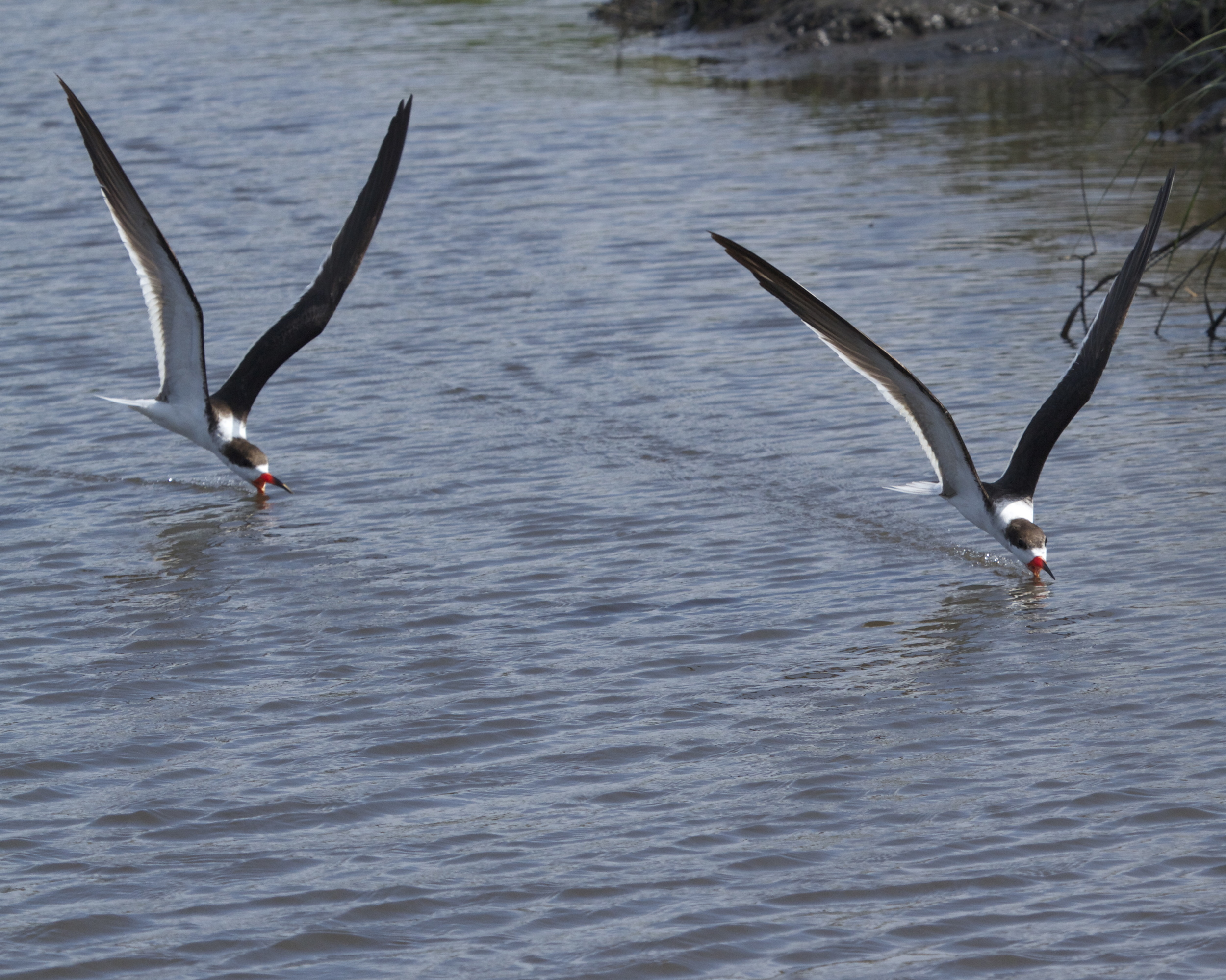 Black Skimmers swoop low over the Broward with their beaks skimming the water for fish.