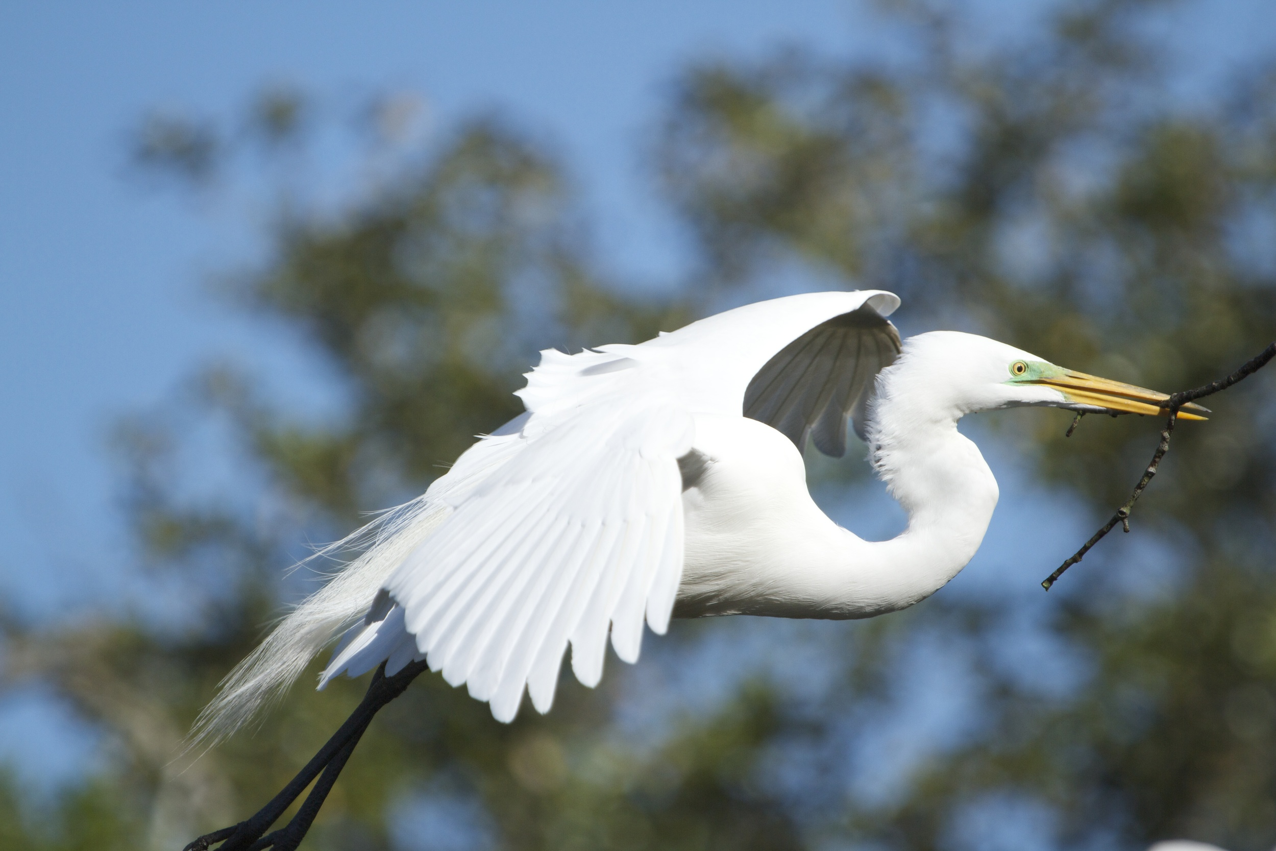 The Great Egret now in breeding colors busily buids its nest.