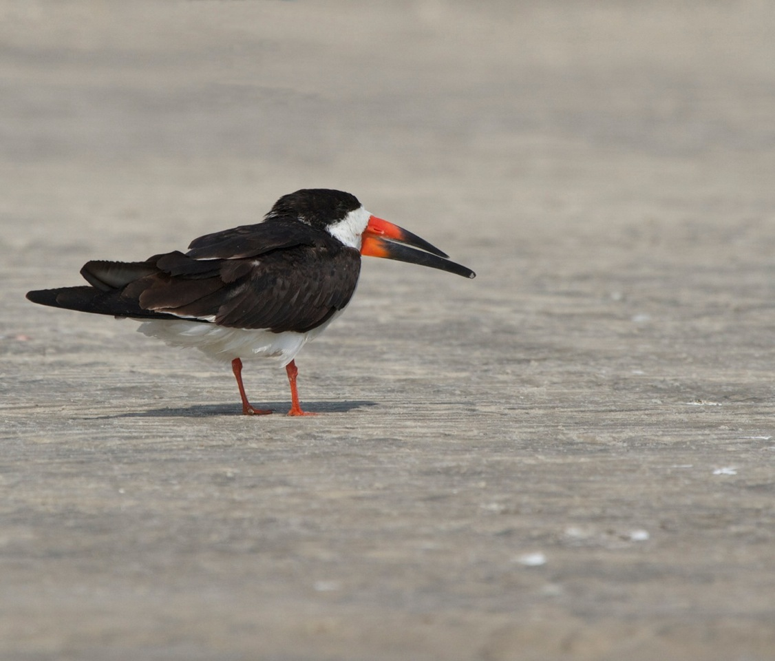 Black Skimmer in mating/breeding colors, photo taken Mar 12
