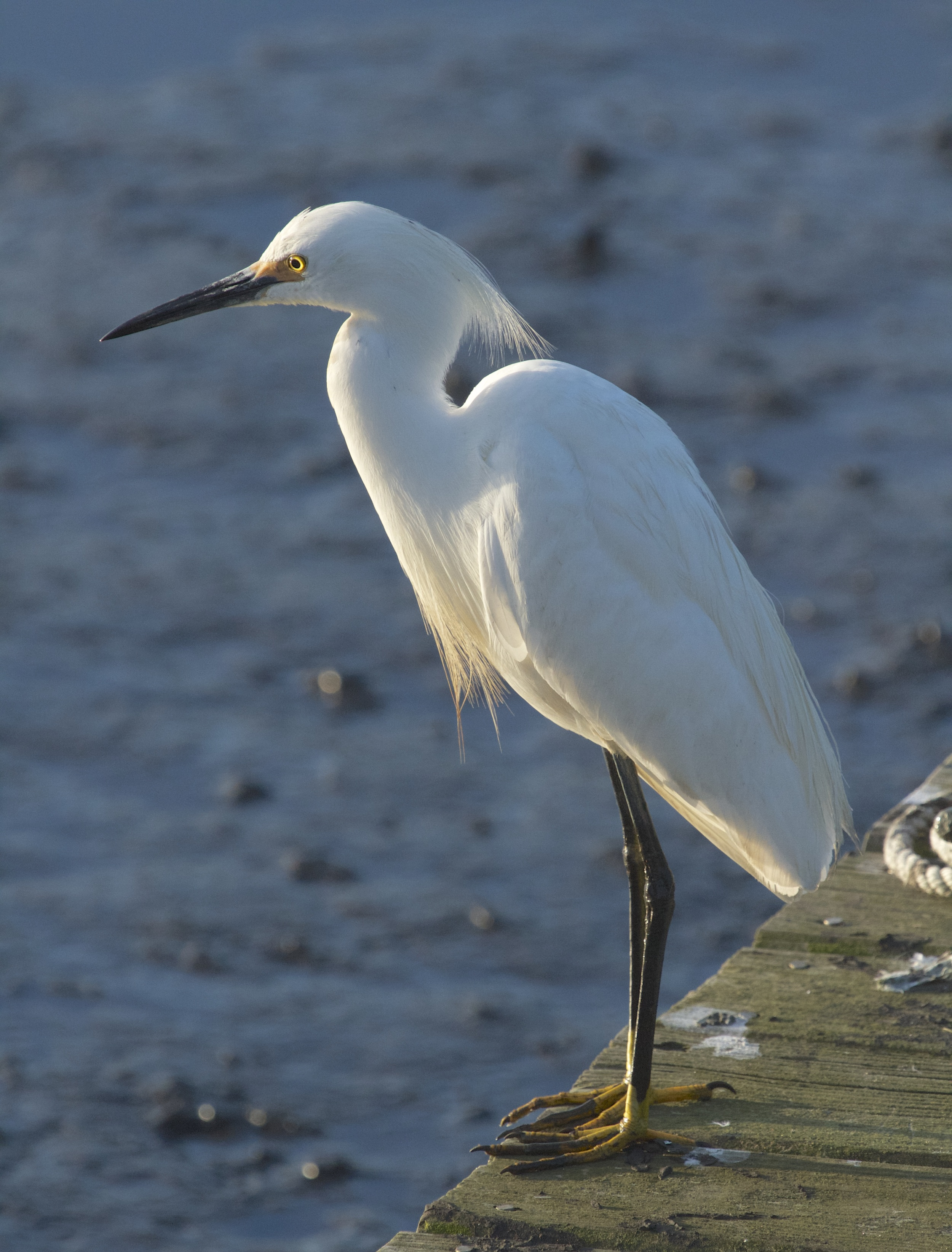 Snowy Egret greets the morning light.