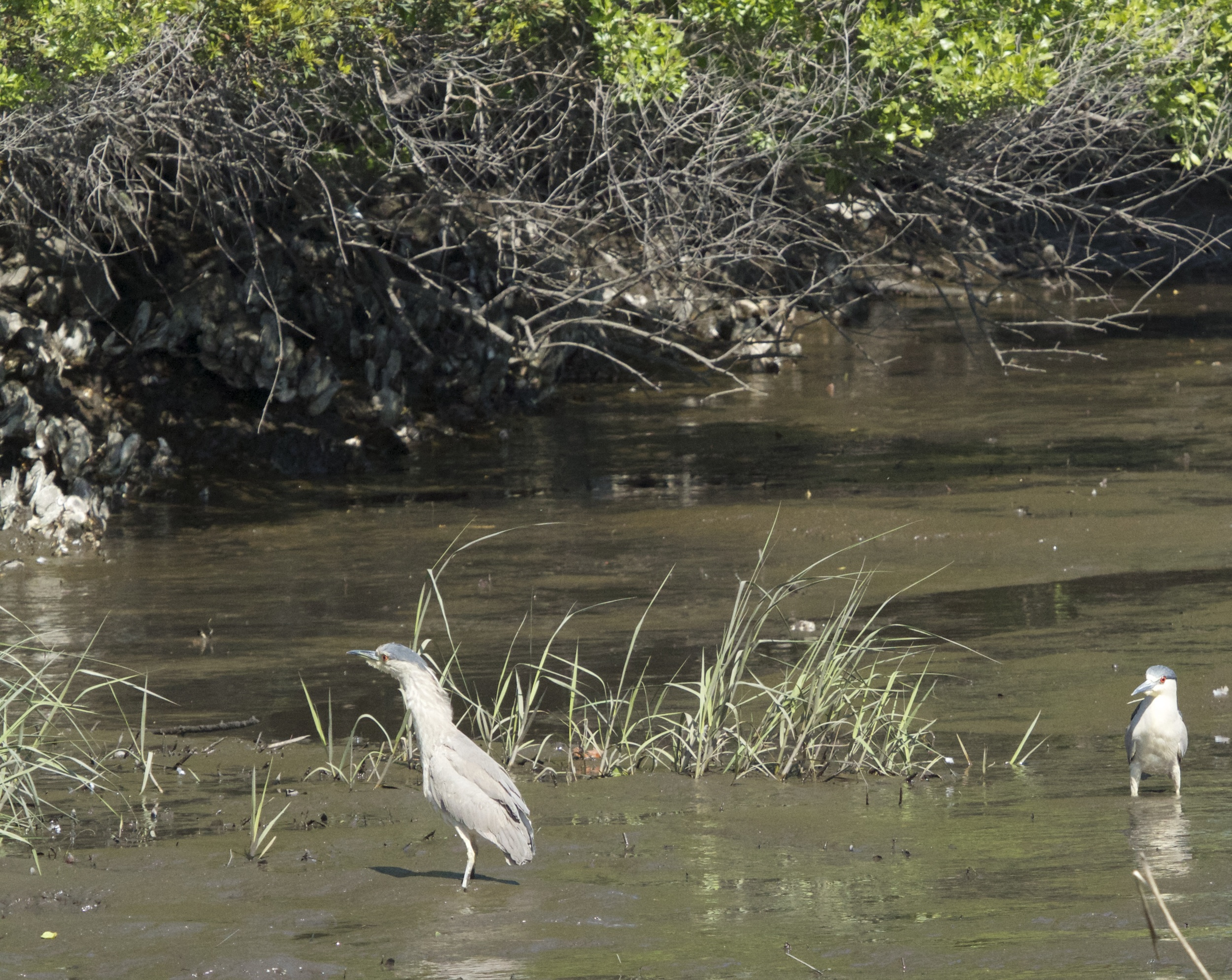 The Black Crowned Herons fly into the mud below and look up to see who's knockin!