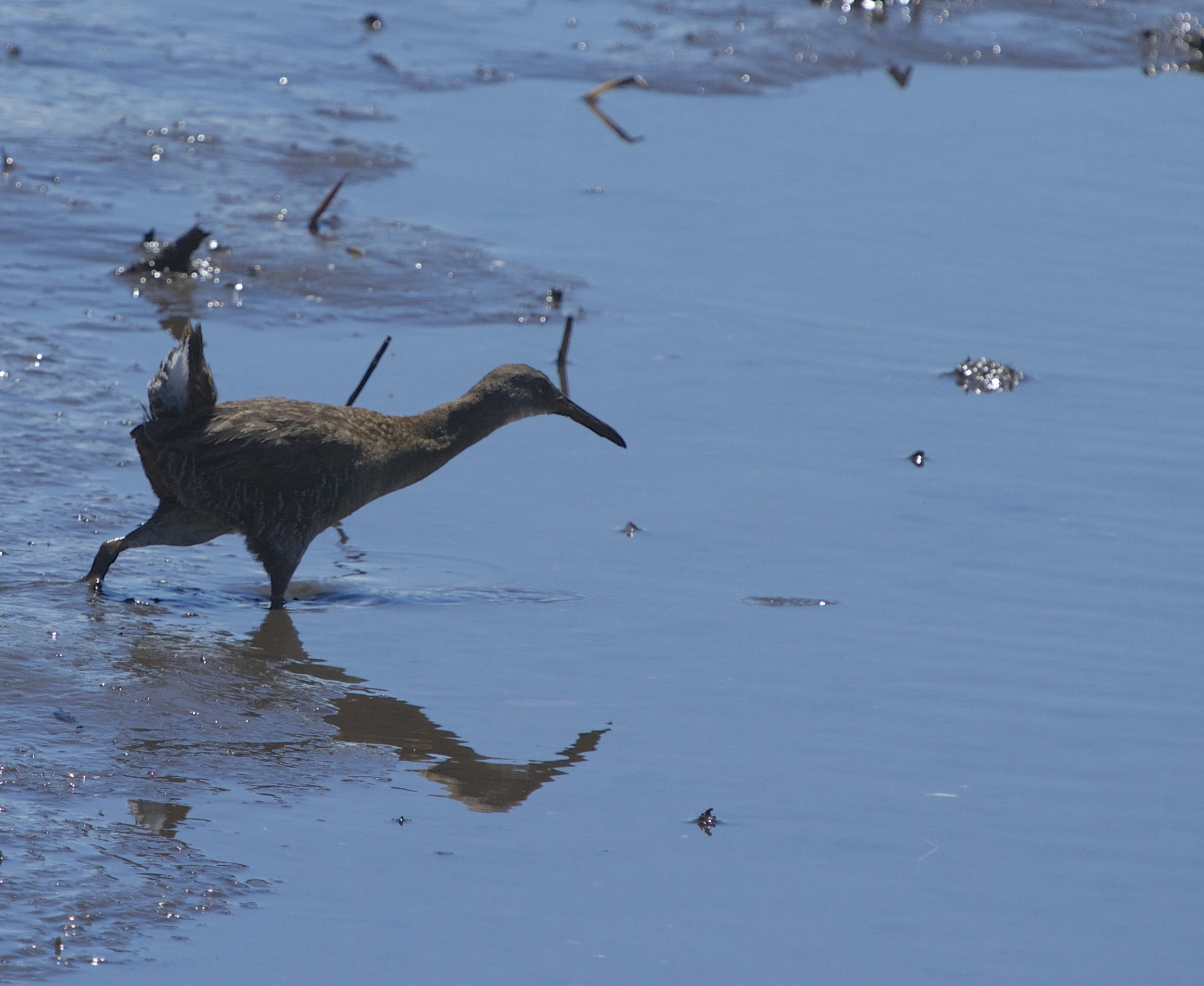 A Clapper Rail (also called mud hens) makes a rare daylight appearance.