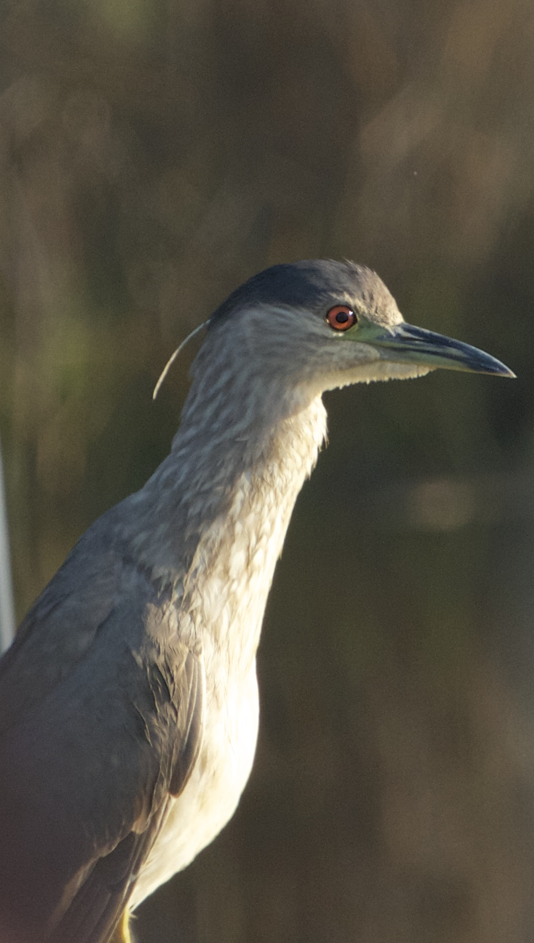 Immature Black-Crowned Night-Heron still showing streaks of brown on the neck.